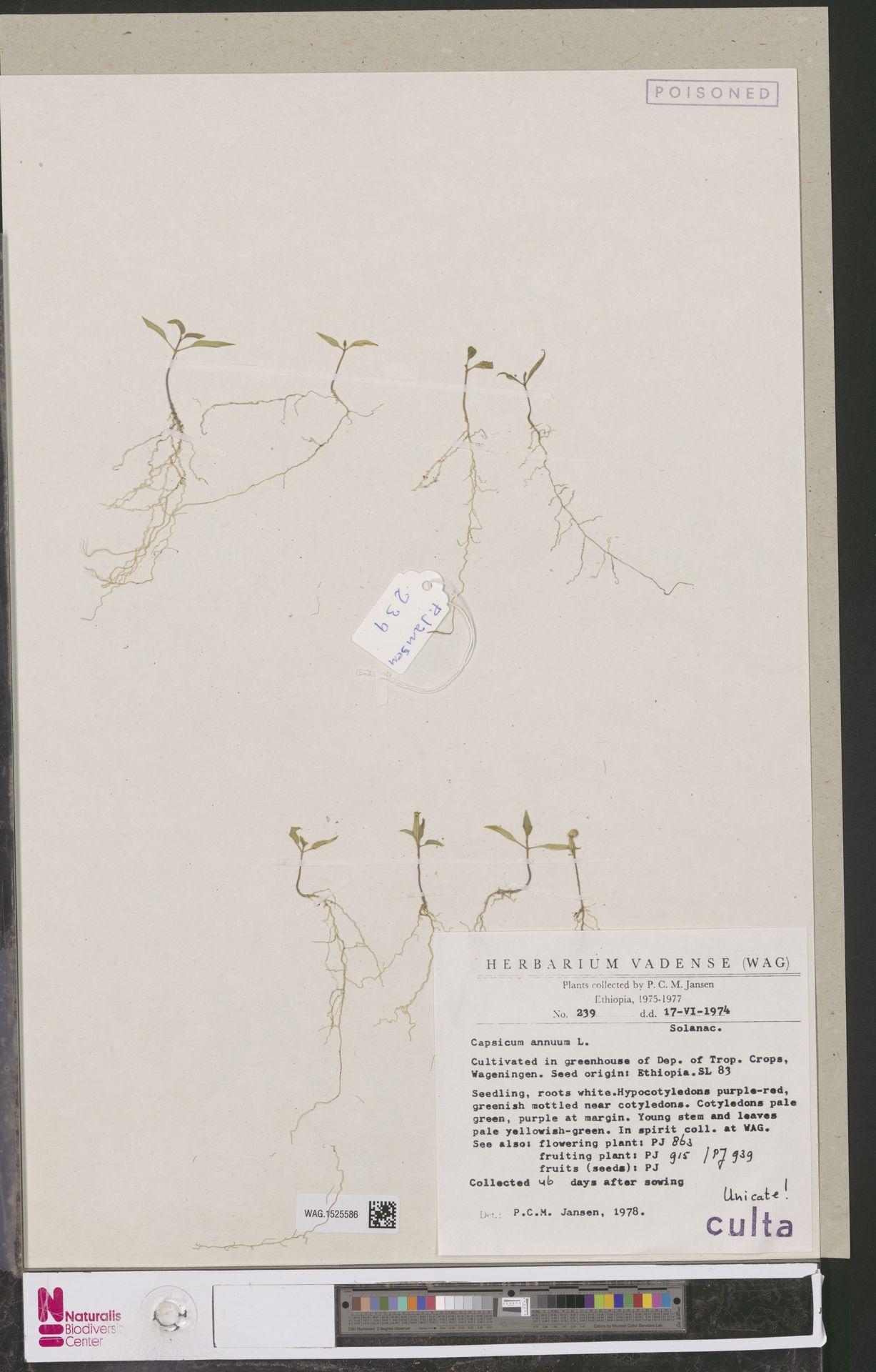 WAG.1525586 | Capsicum annuum L.