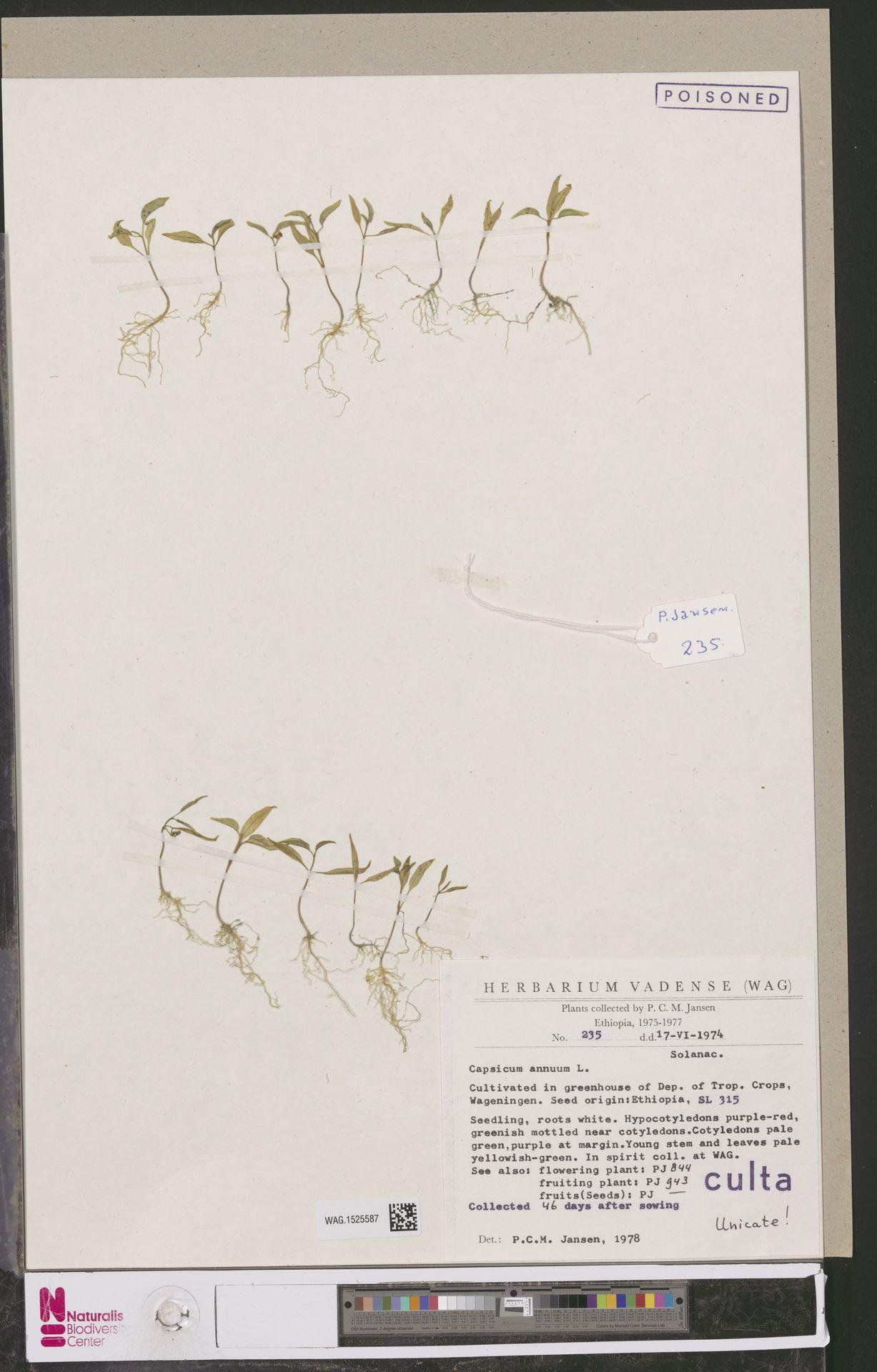 WAG.1525587 | Capsicum annuum L.