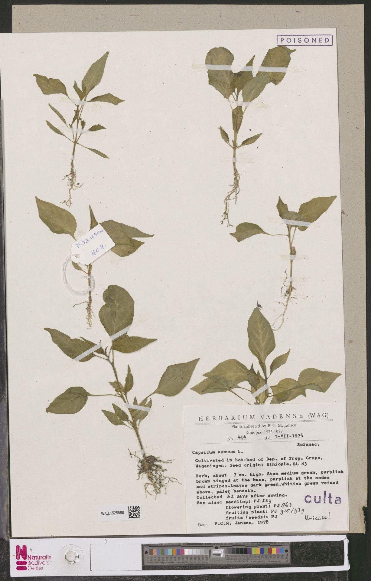 WAG.1525598 | Capsicum annuum L.