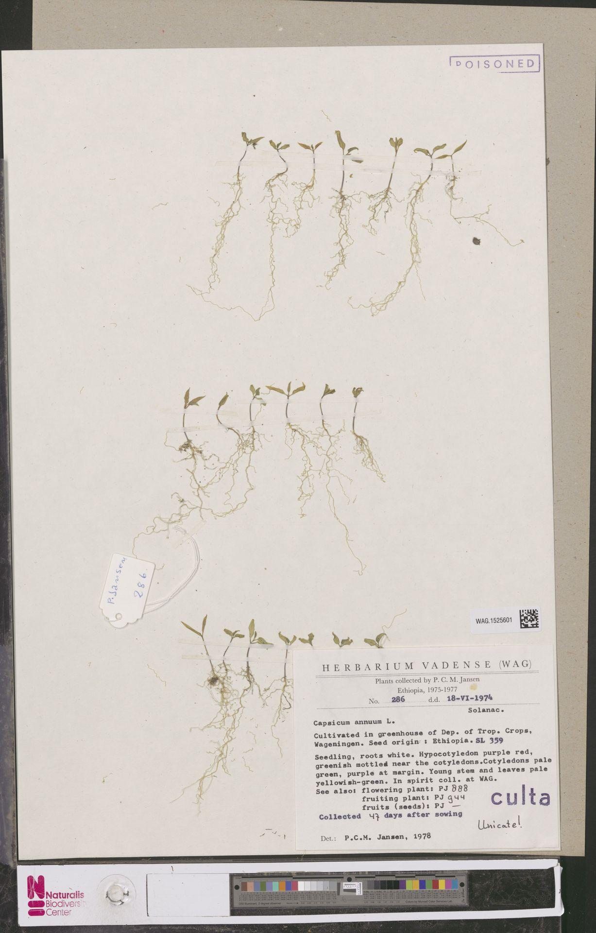 WAG.1525601 | Capsicum annuum L.