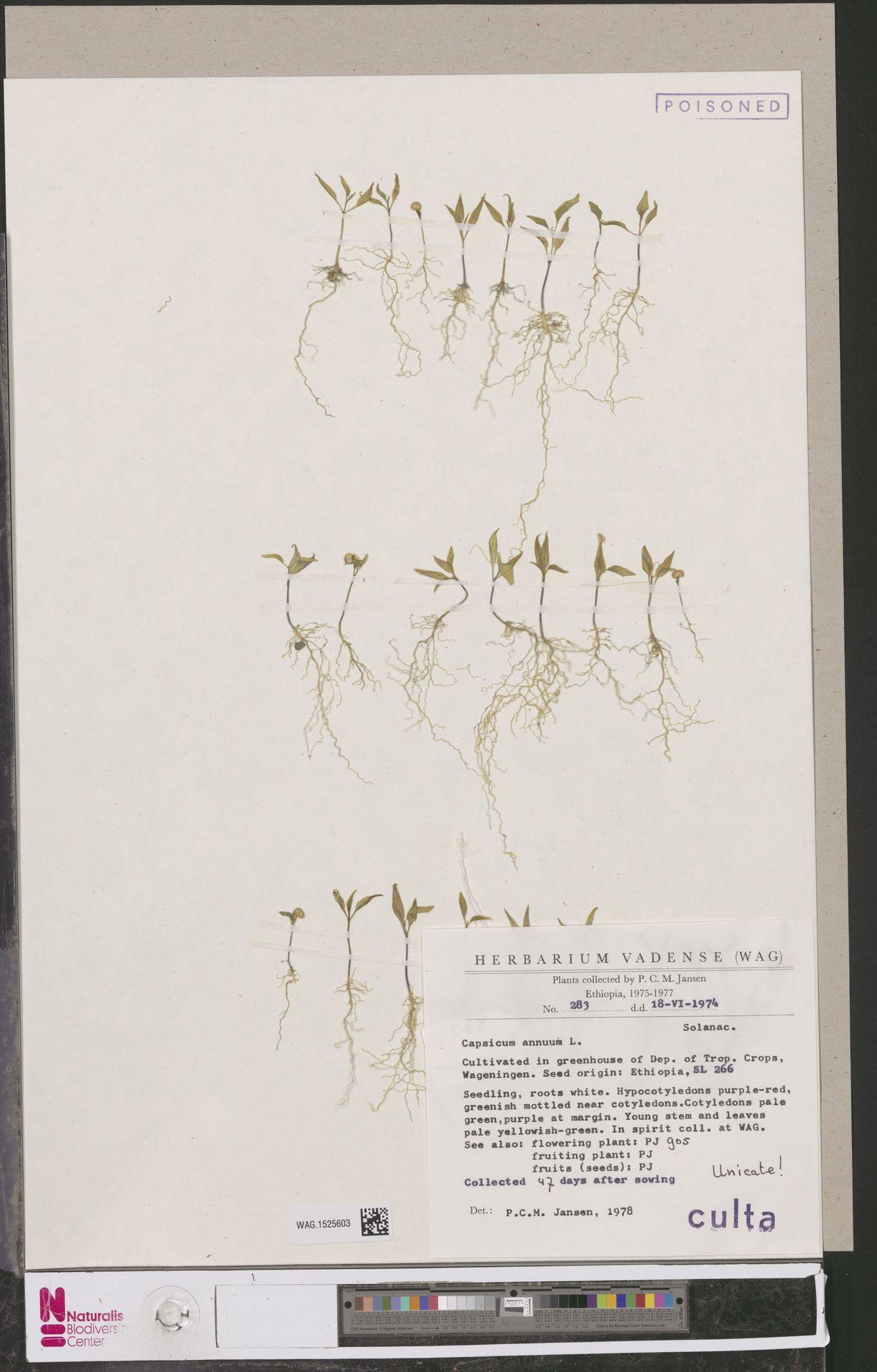 WAG.1525603 | Capsicum annuum L.