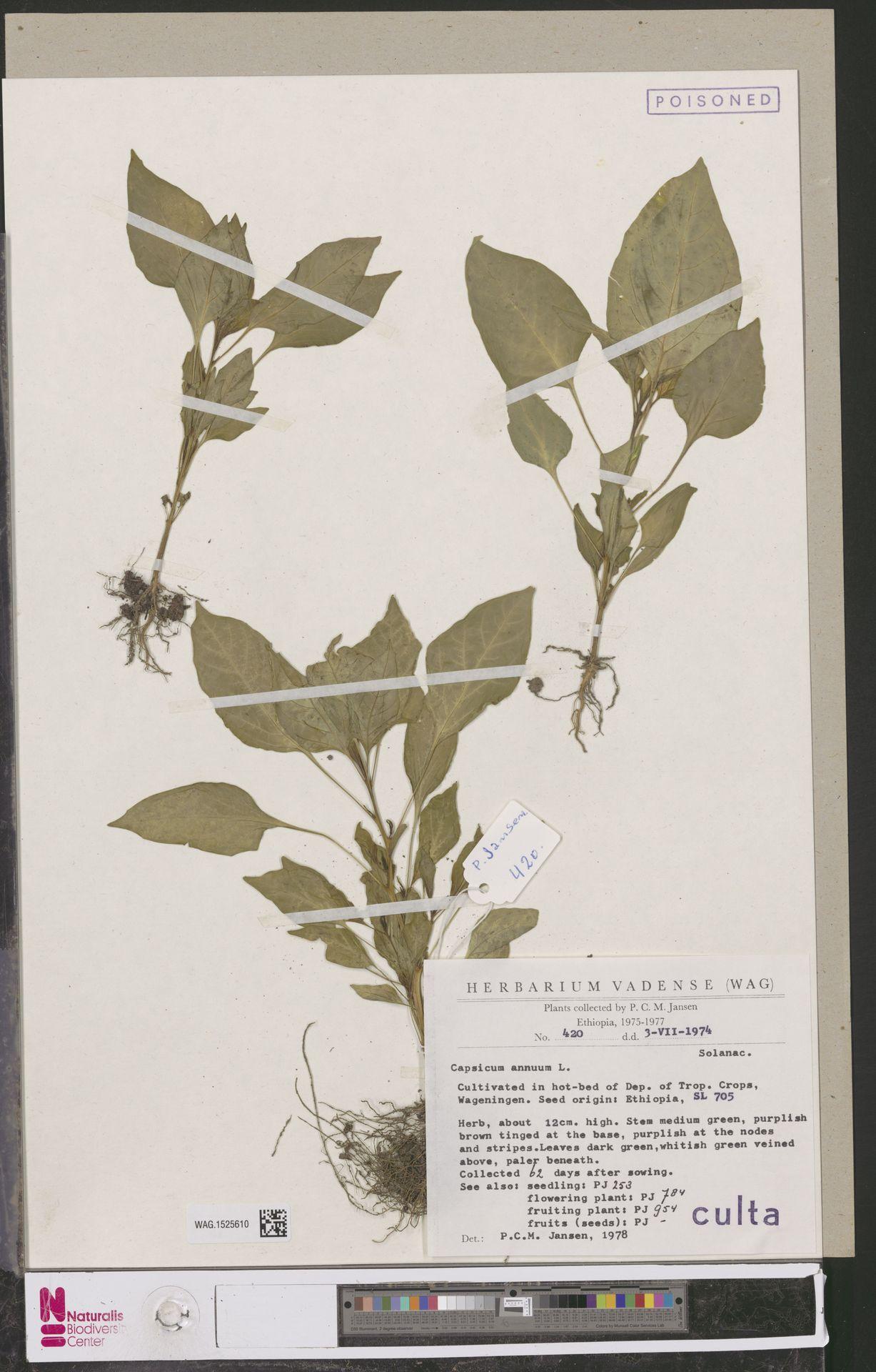 WAG.1525610 | Capsicum annuum L.