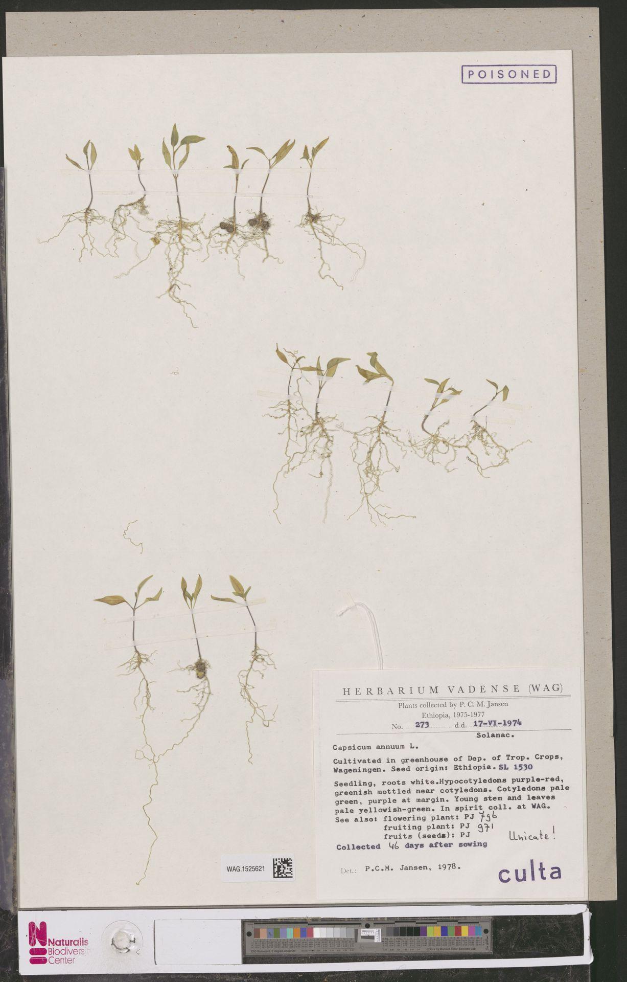 WAG.1525621 | Capsicum annuum L.