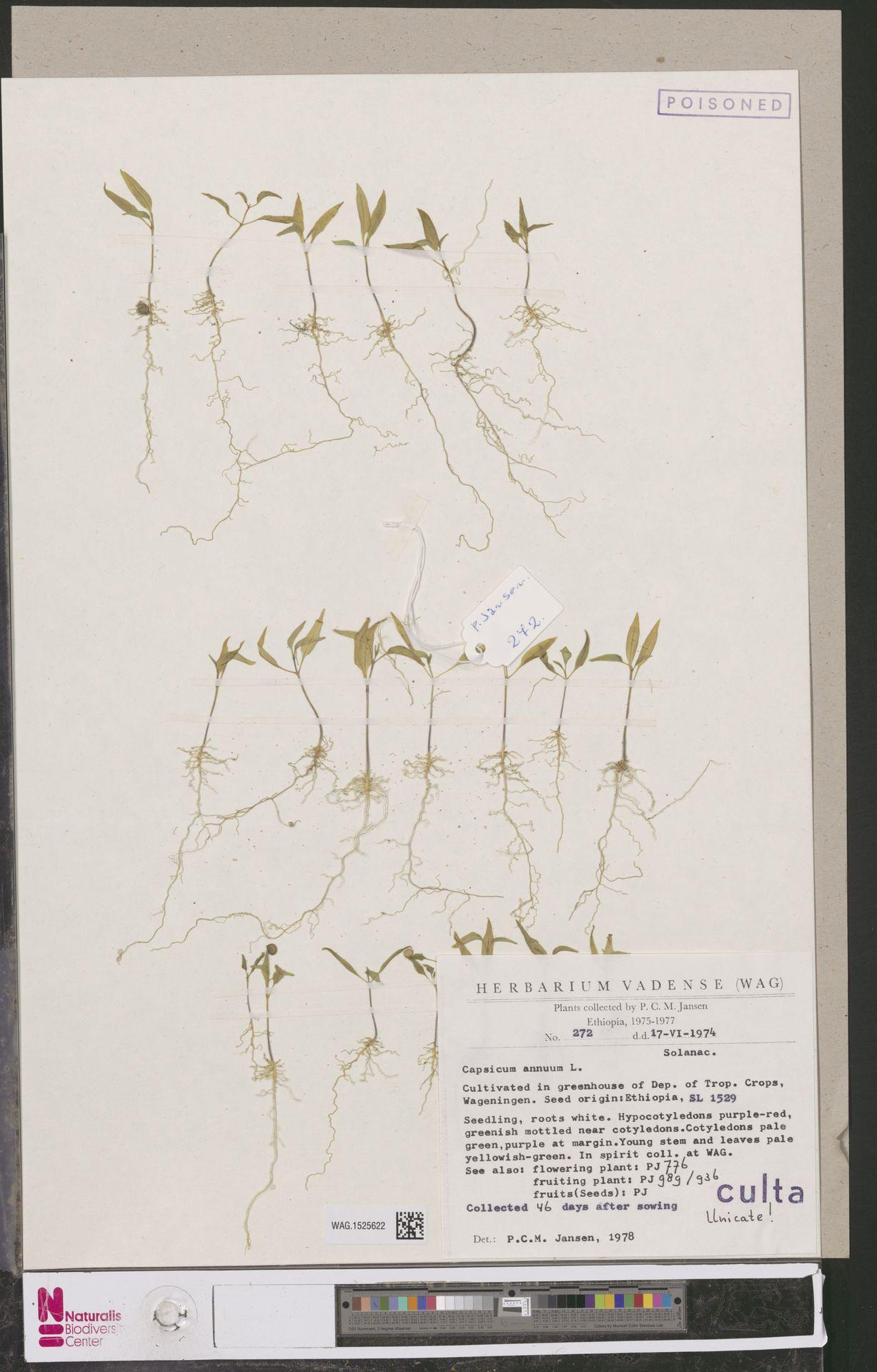 WAG.1525622 | Capsicum annuum L.