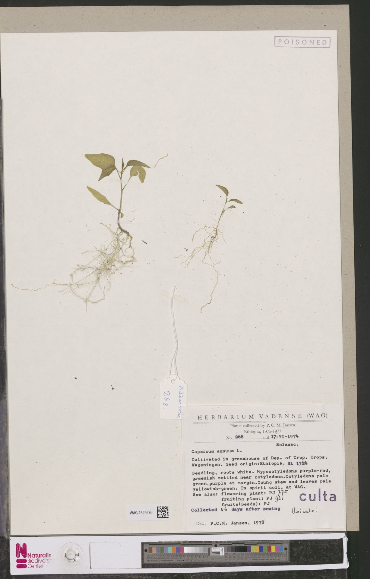 WAG.1525626 | Capsicum annuum L.