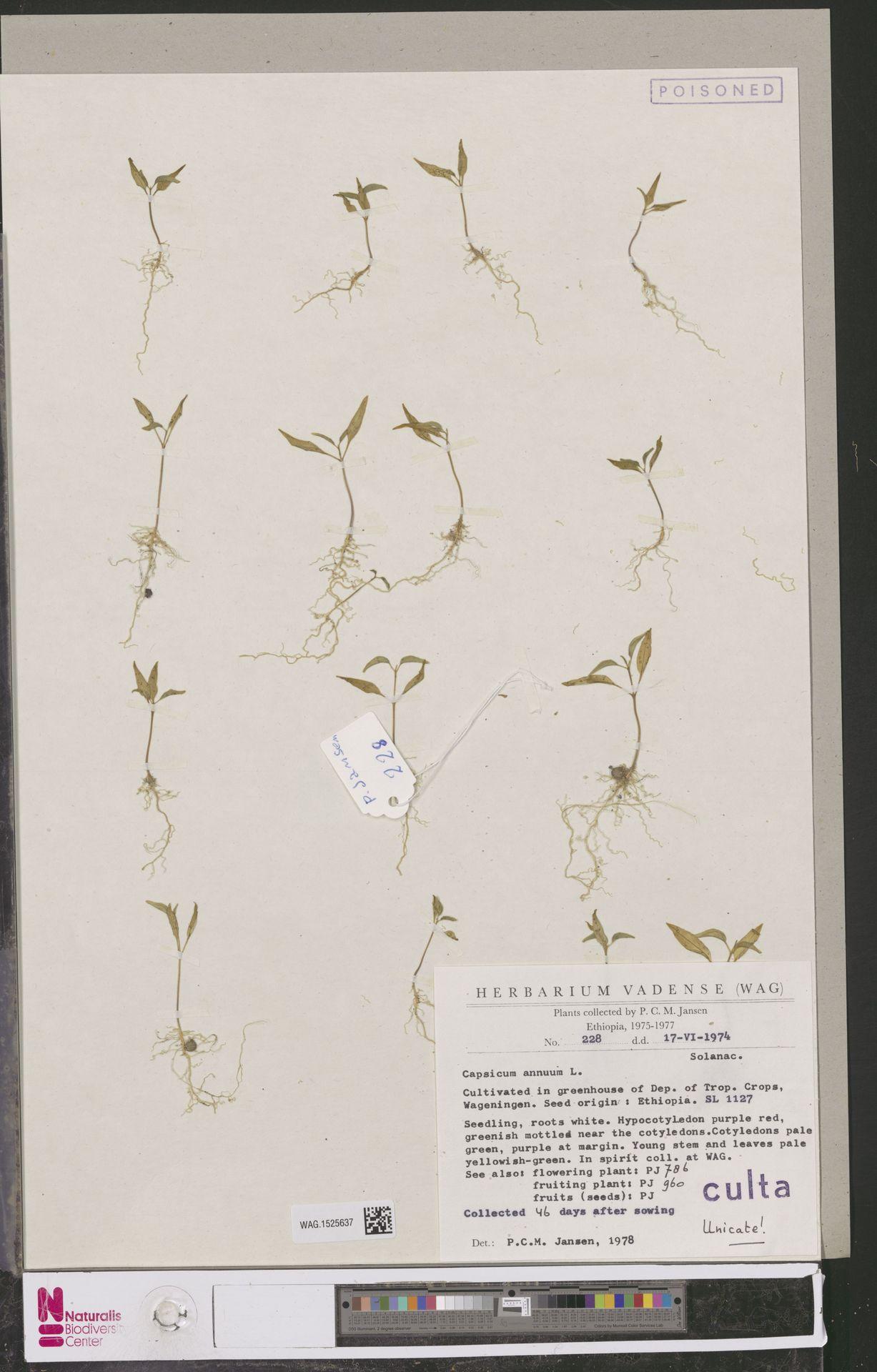 WAG.1525637 | Capsicum annuum L.