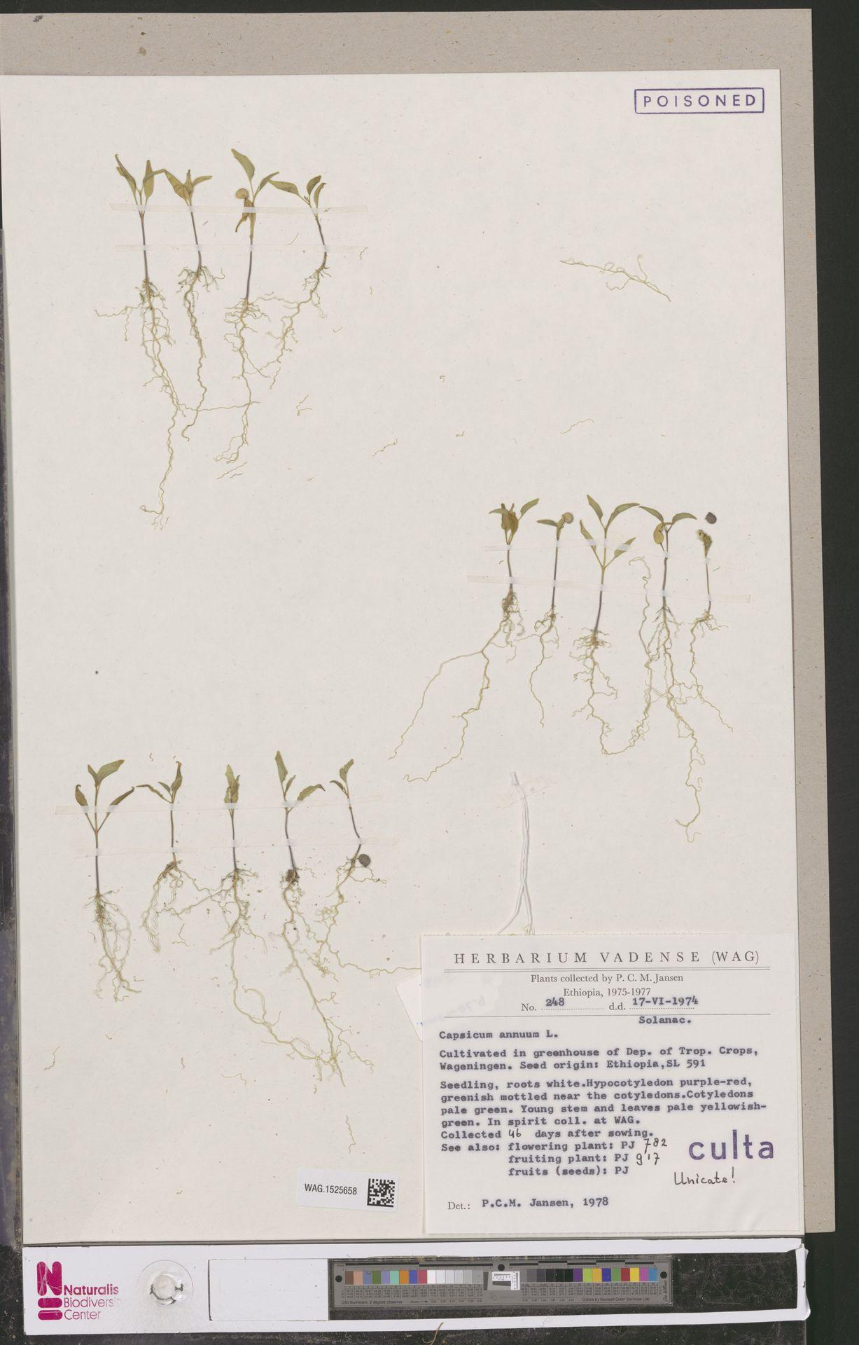 WAG.1525658 | Capsicum annuum L.