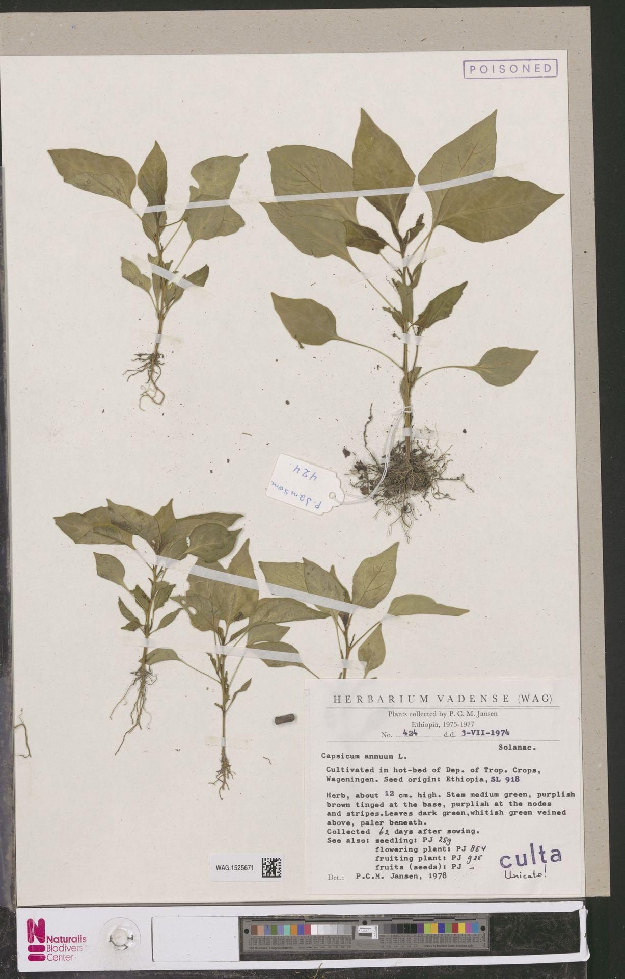 WAG.1525671 | Capsicum annuum L.