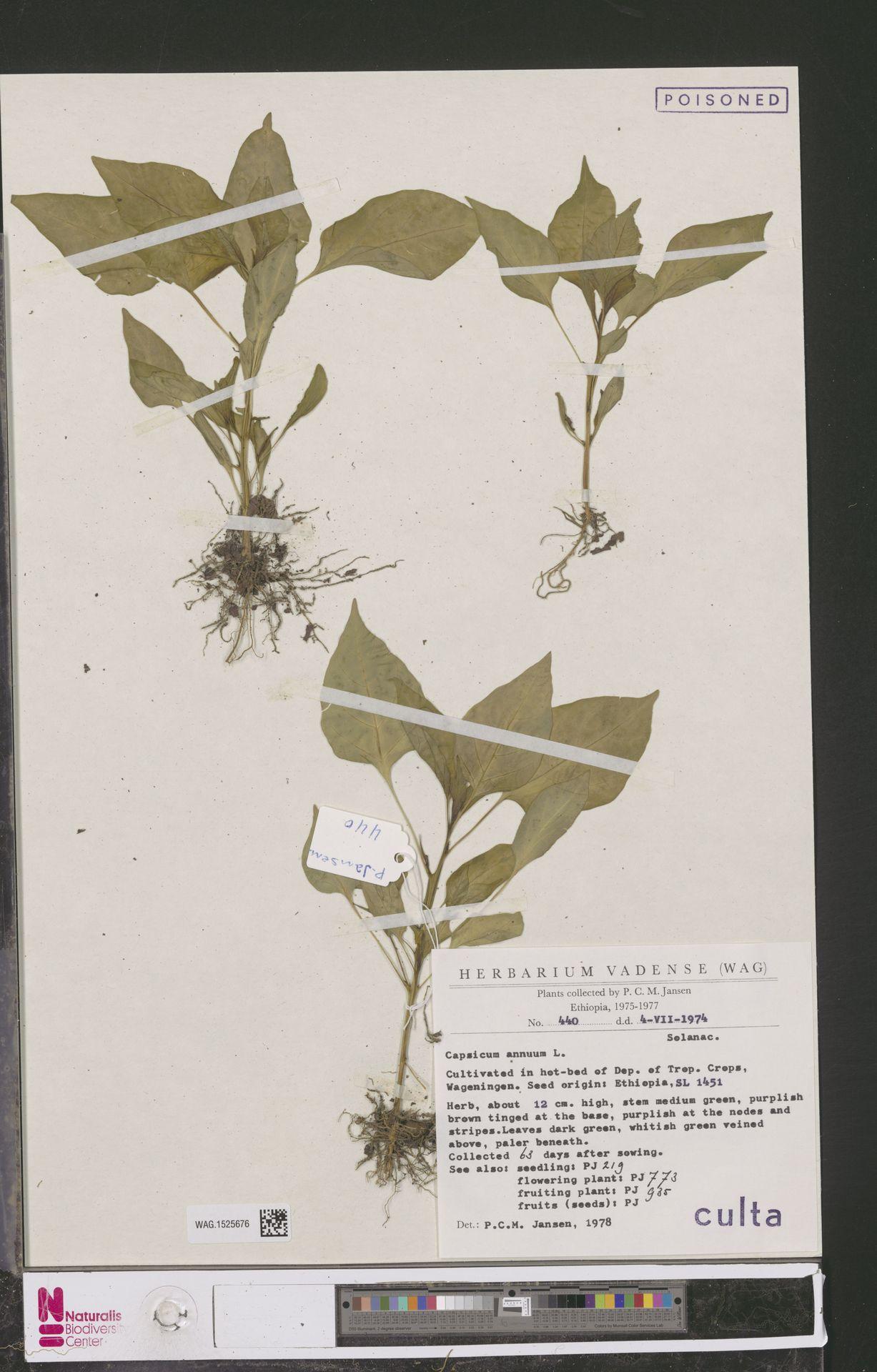 WAG.1525676 | Capsicum annuum L.