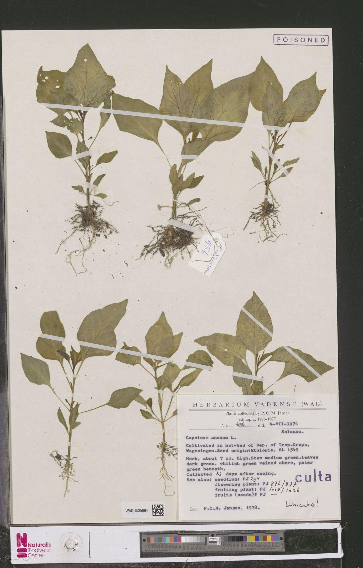 WAG.1525684 | Capsicum annuum L.