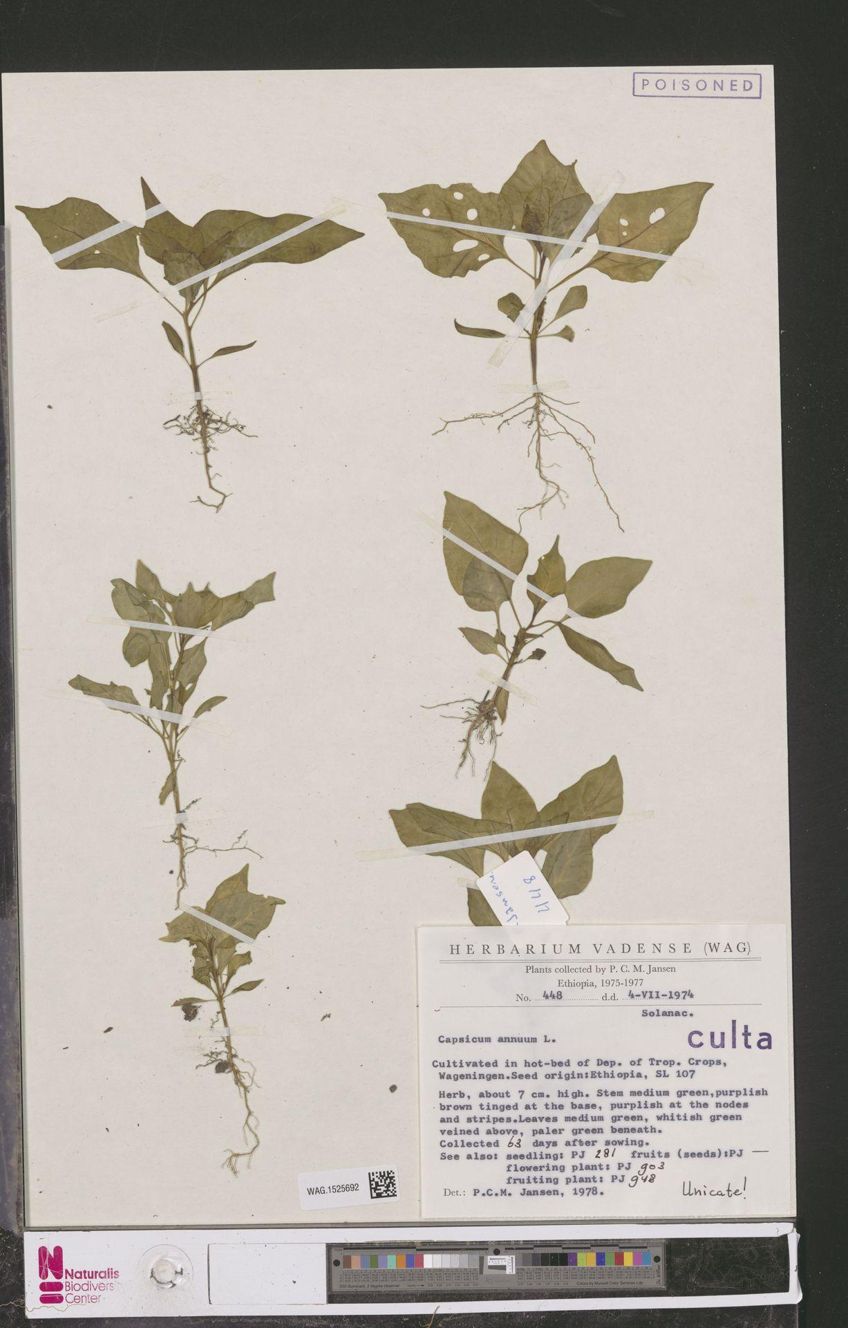 WAG.1525692 | Capsicum annuum L.