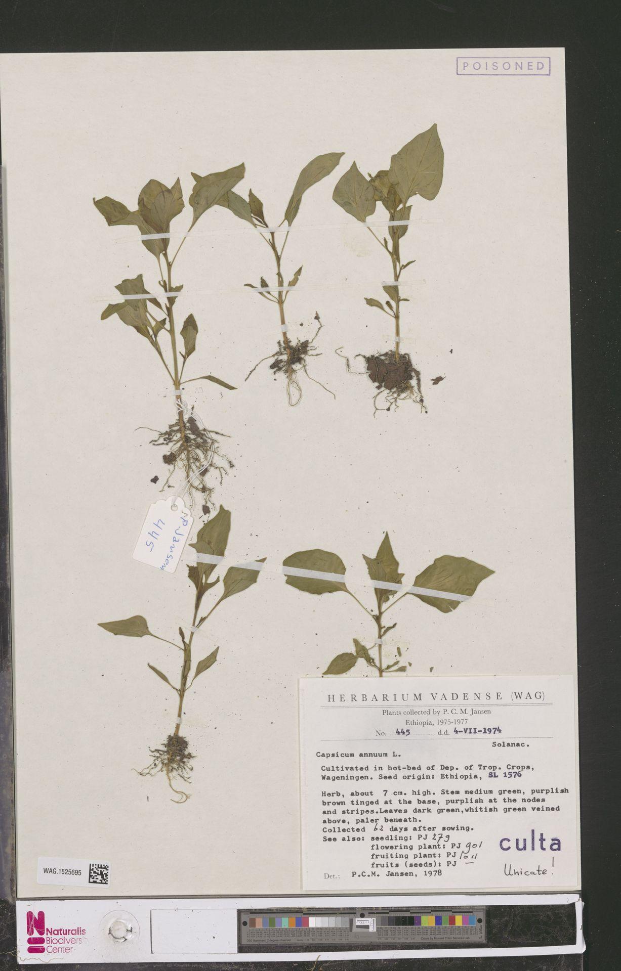 WAG.1525695 | Capsicum annuum L.