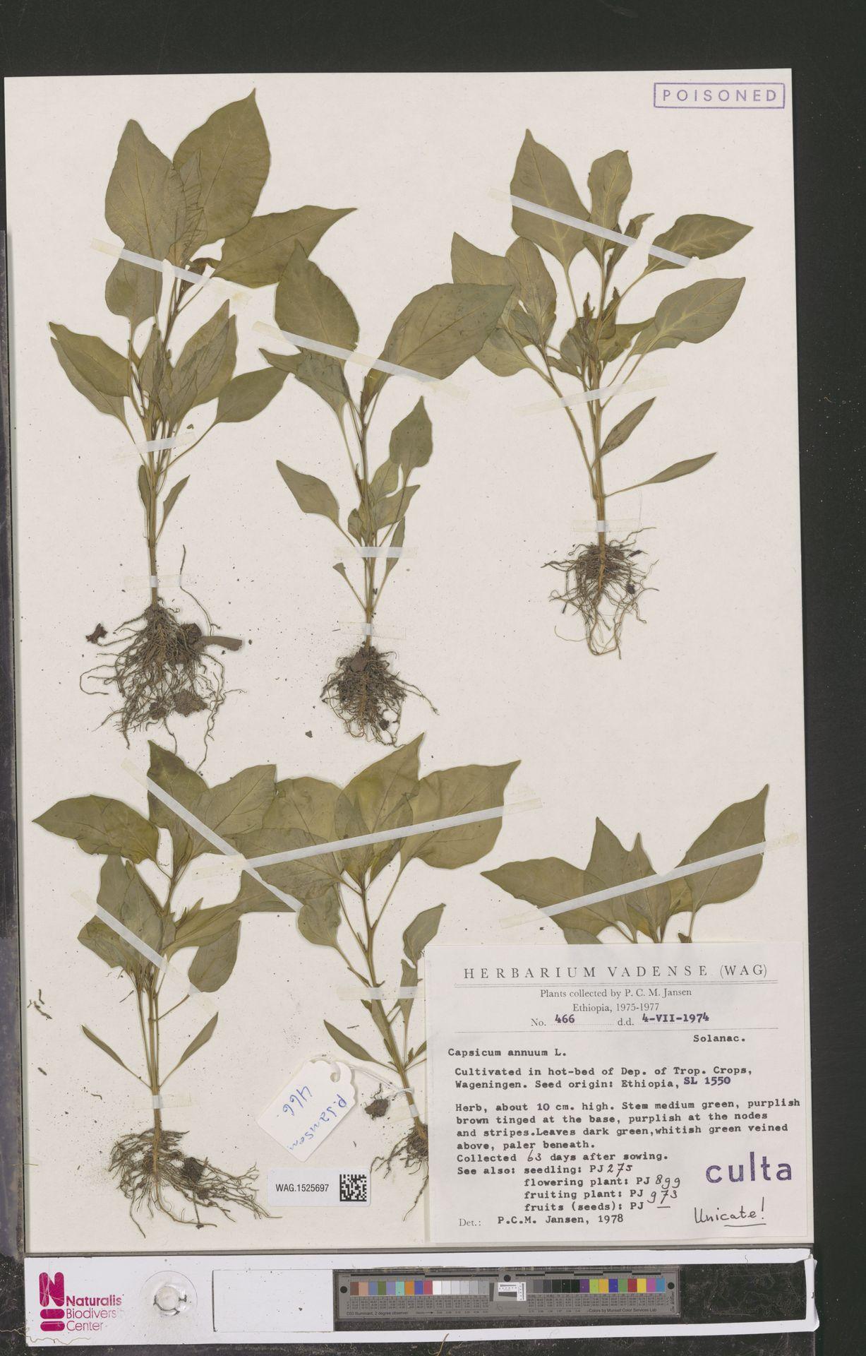 WAG.1525697 | Capsicum annuum L.