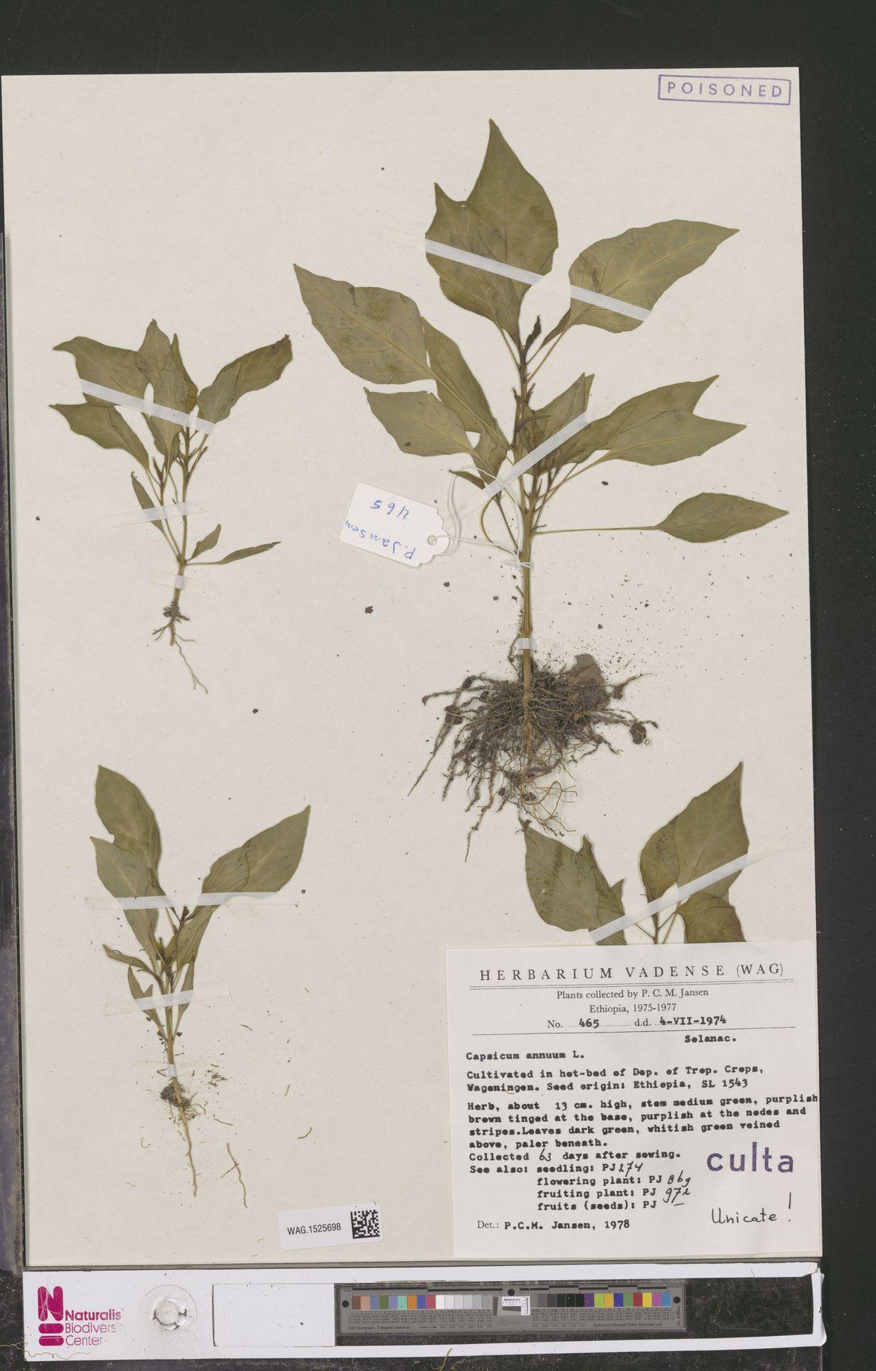 WAG.1525698 | Capsicum annuum L.
