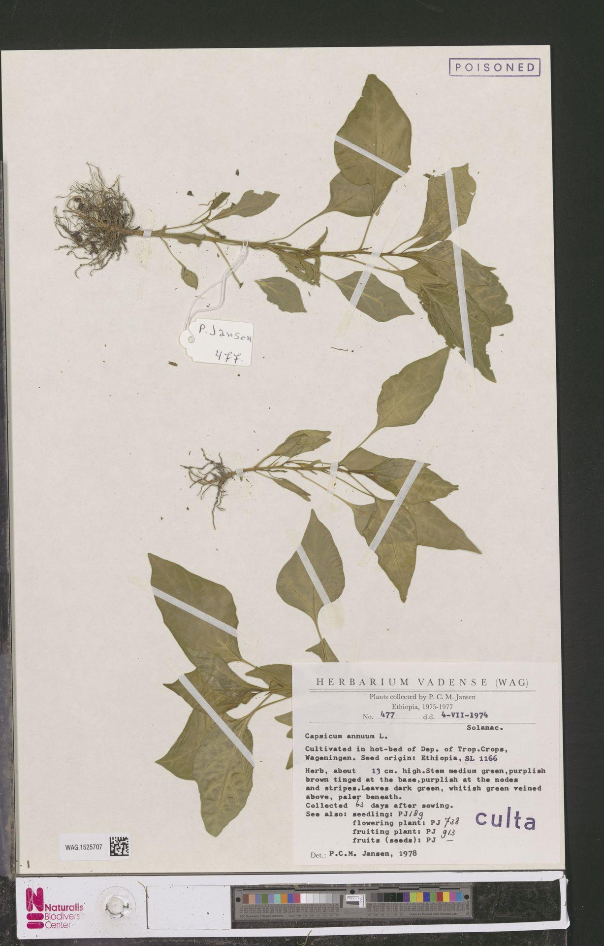WAG.1525707 | Capsicum annuum L.