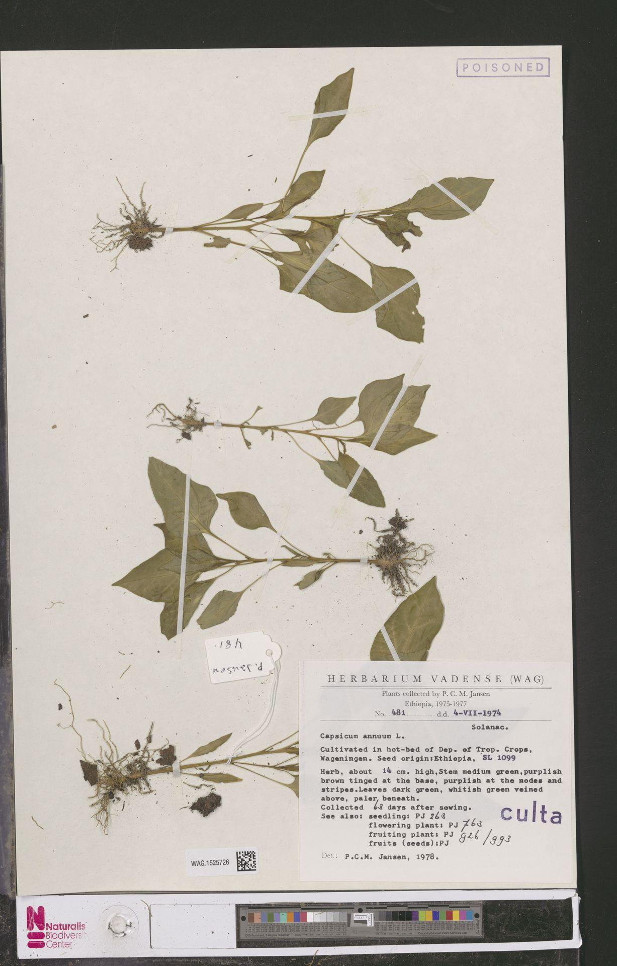 WAG.1525726 | Capsicum annuum L.