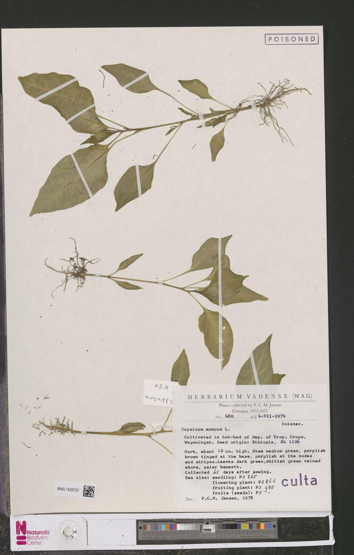 WAG.1525727 | Capsicum annuum L.