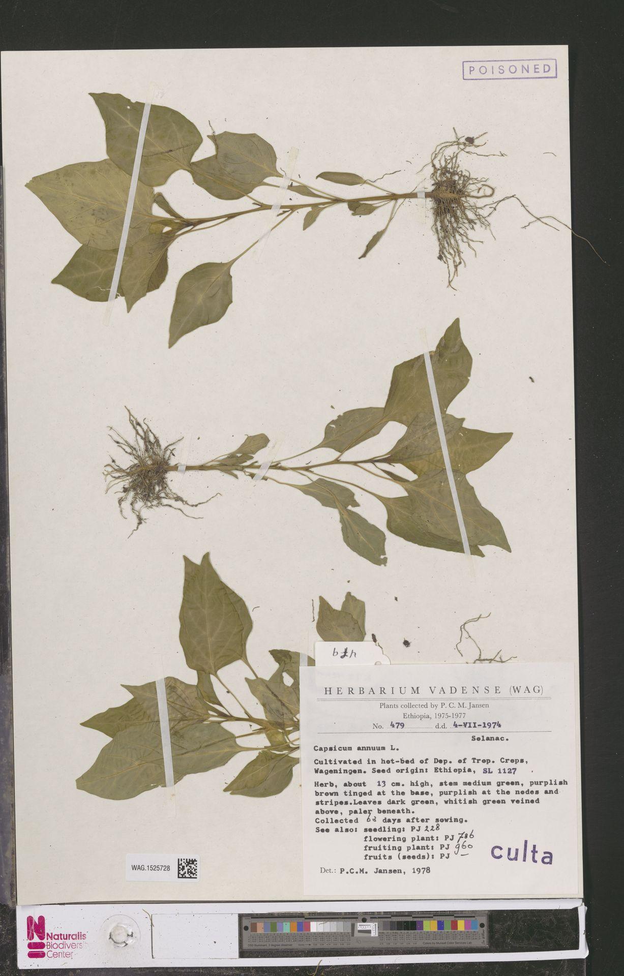 WAG.1525728 | Capsicum annuum L.