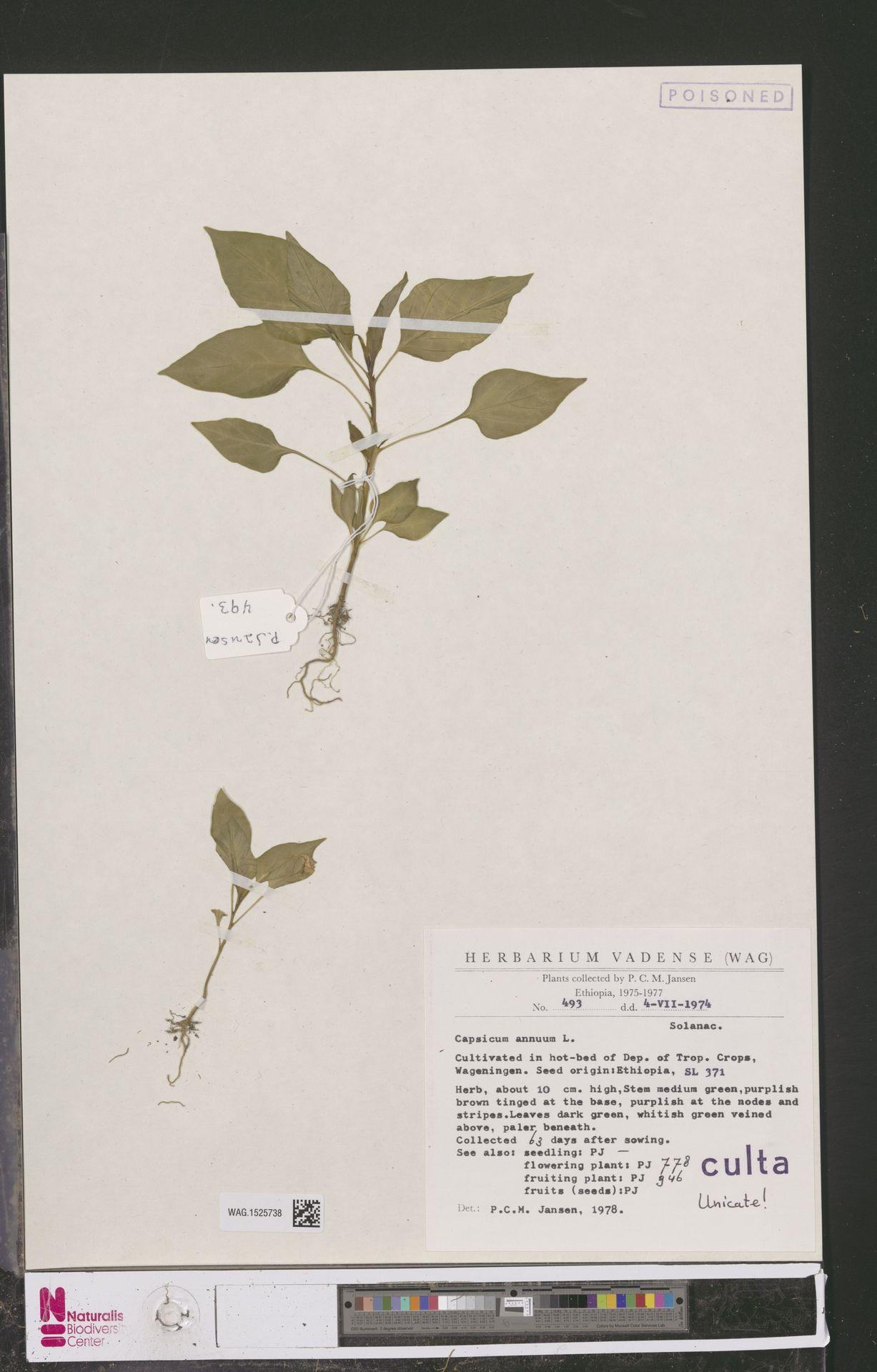 WAG.1525738 | Capsicum annuum L.