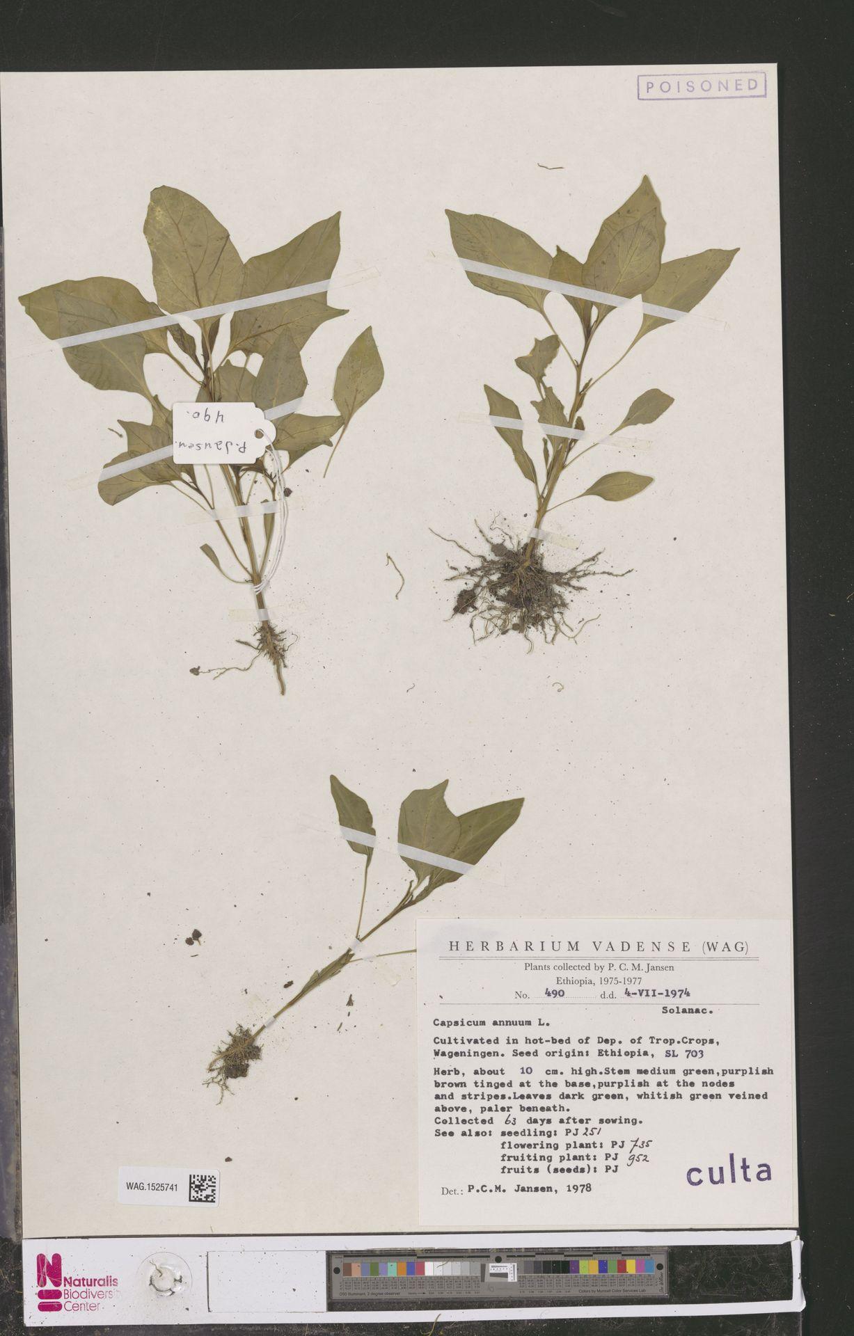 WAG.1525741 | Capsicum annuum L.