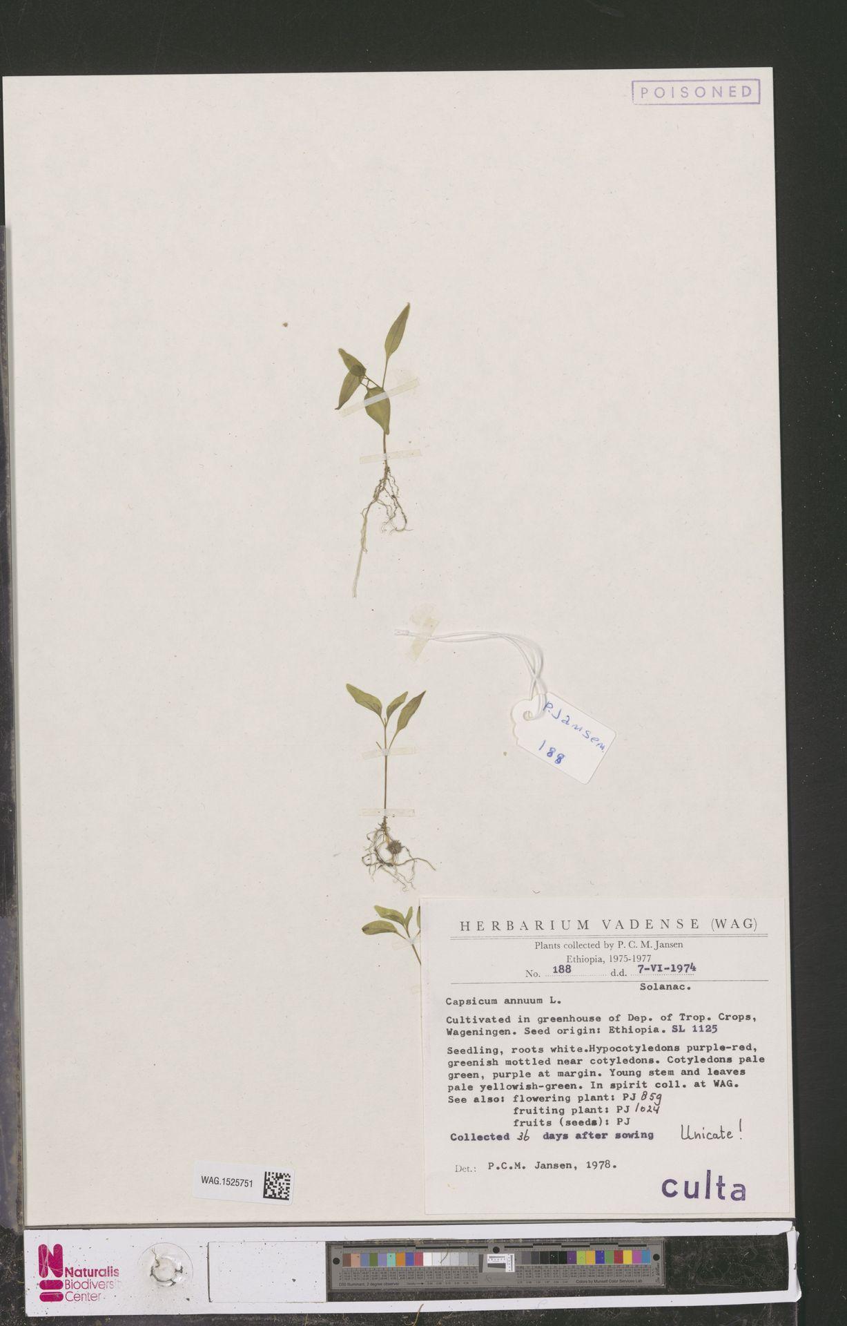 WAG.1525751 | Capsicum annuum L.