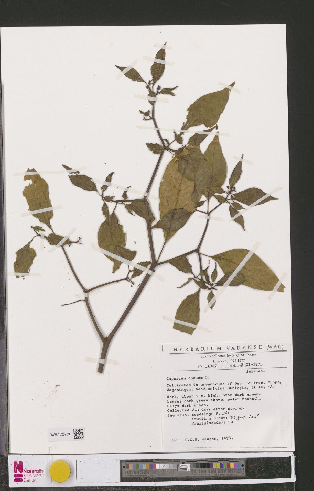WAG.1525759 | Capsicum annuum L.