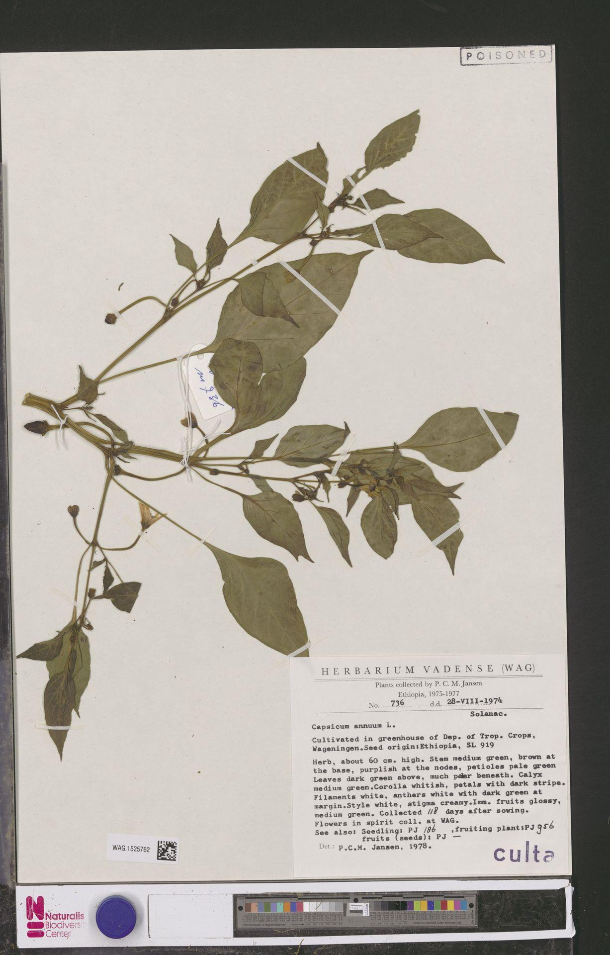 WAG.1525762 | Capsicum annuum L.