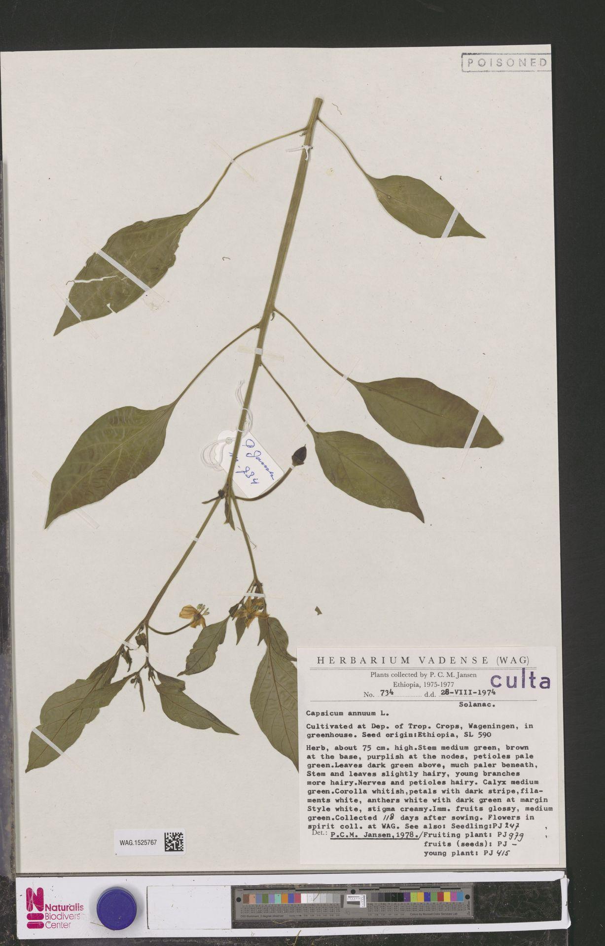 WAG.1525767 | Capsicum annuum L.