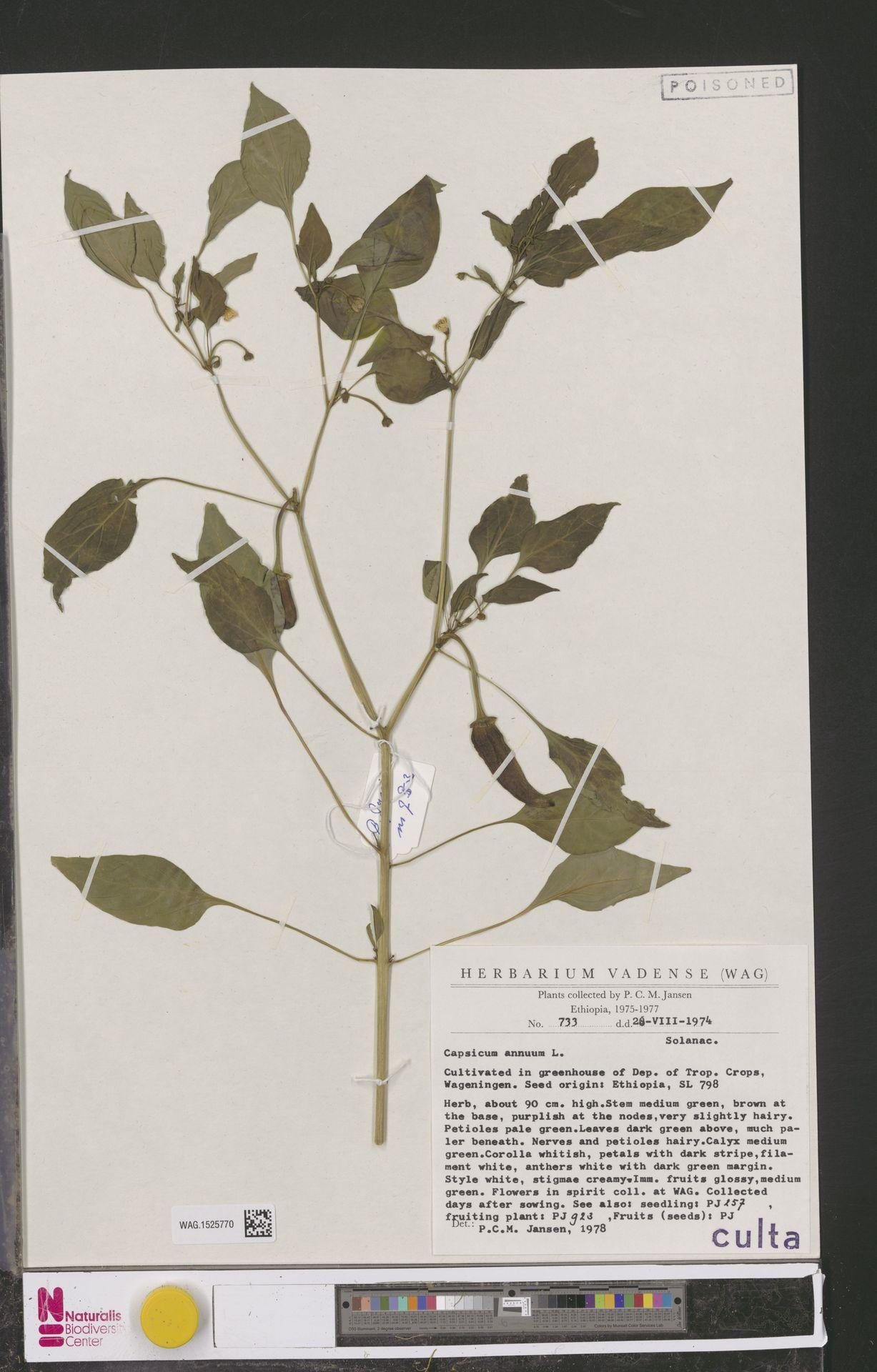 WAG.1525770 | Capsicum annuum L.