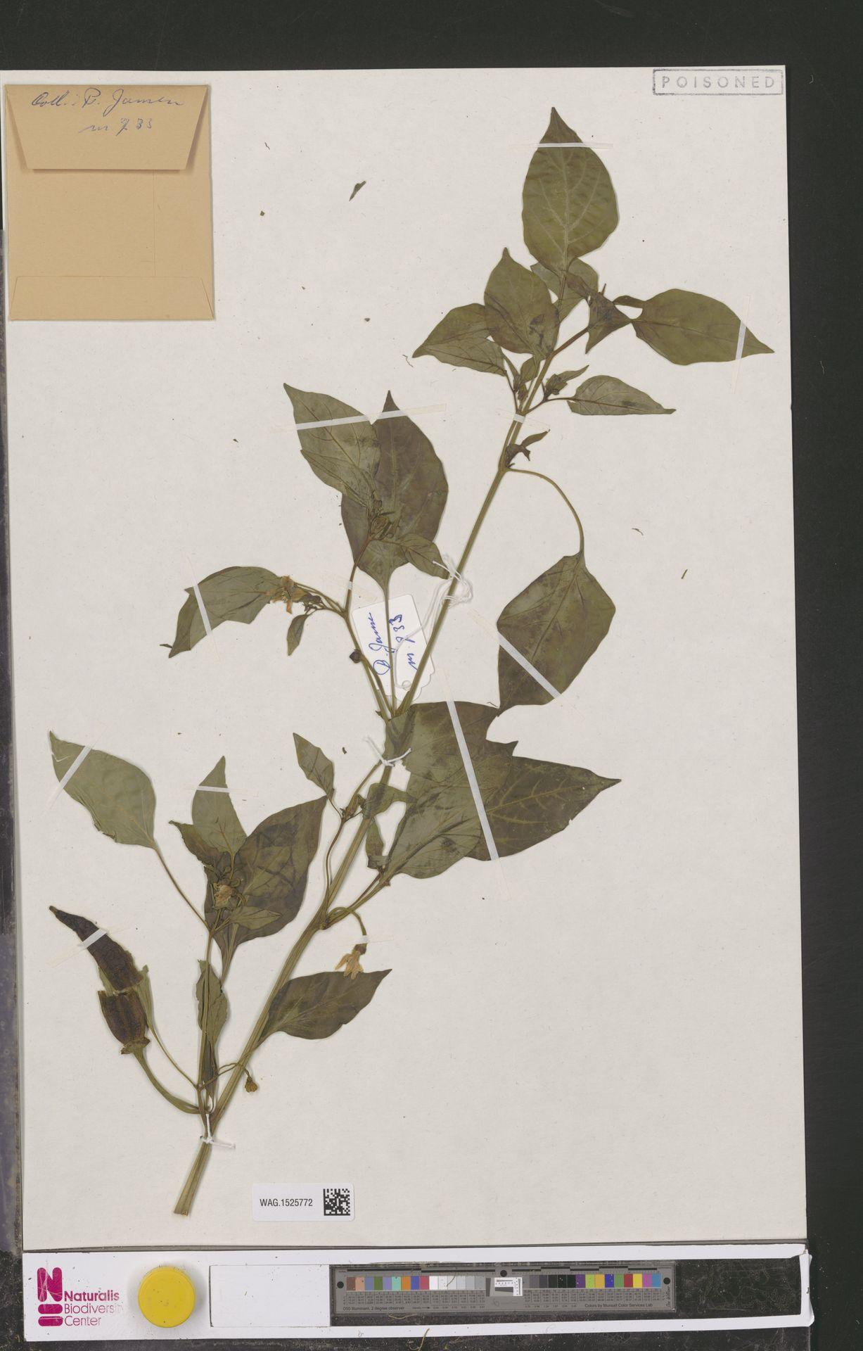 WAG.1525772 | Capsicum annuum L.