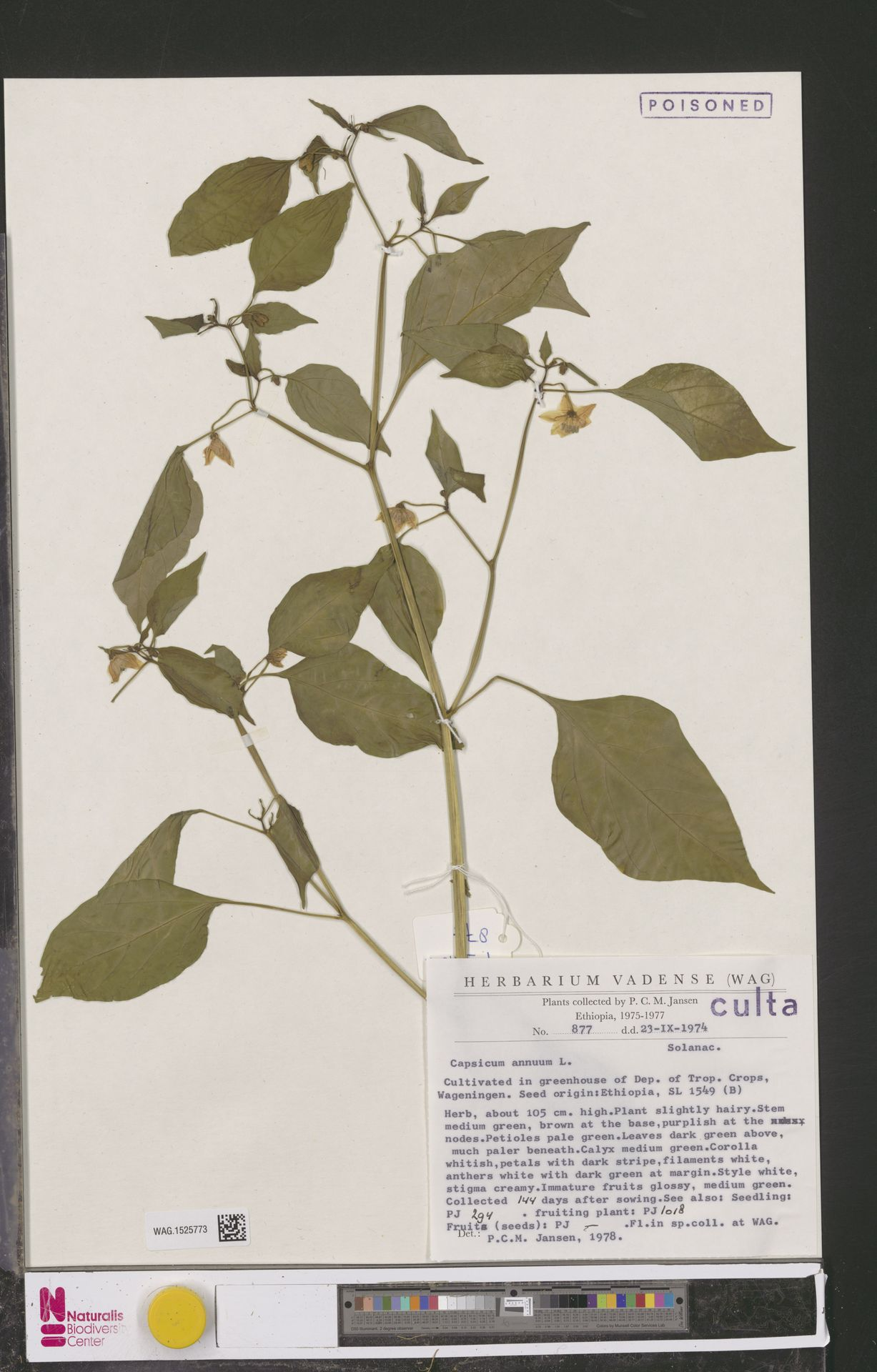 WAG.1525773 | Capsicum annuum L.