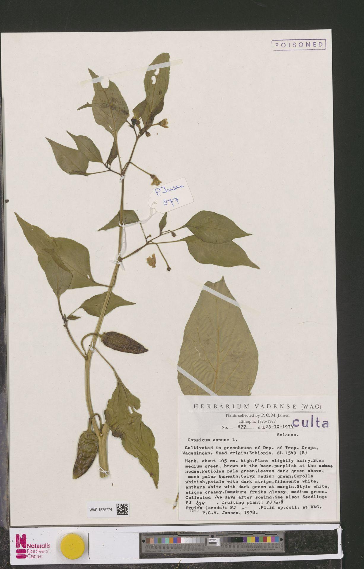 WAG.1525774 | Capsicum annuum L.