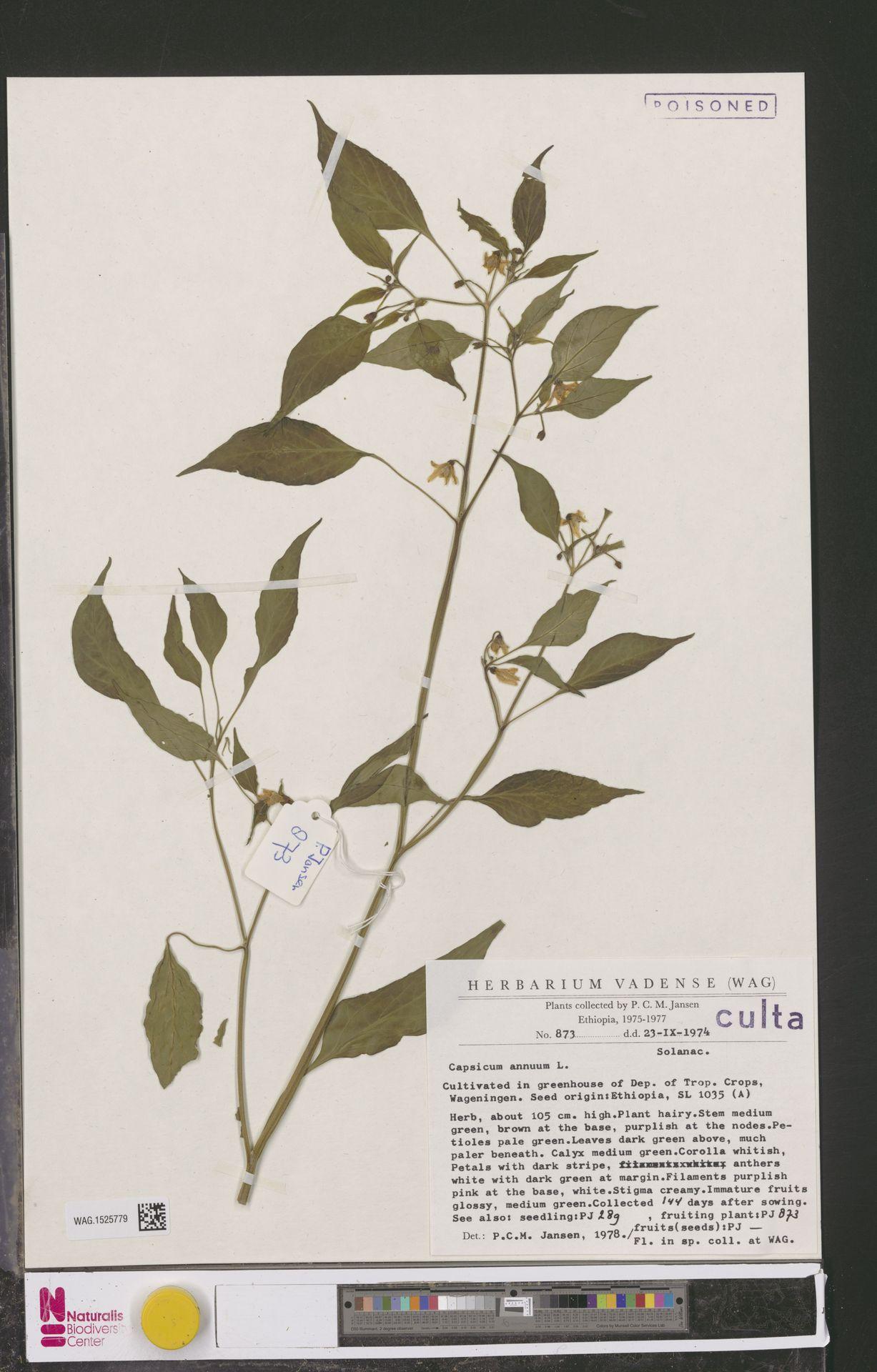 WAG.1525779 | Capsicum annuum L.