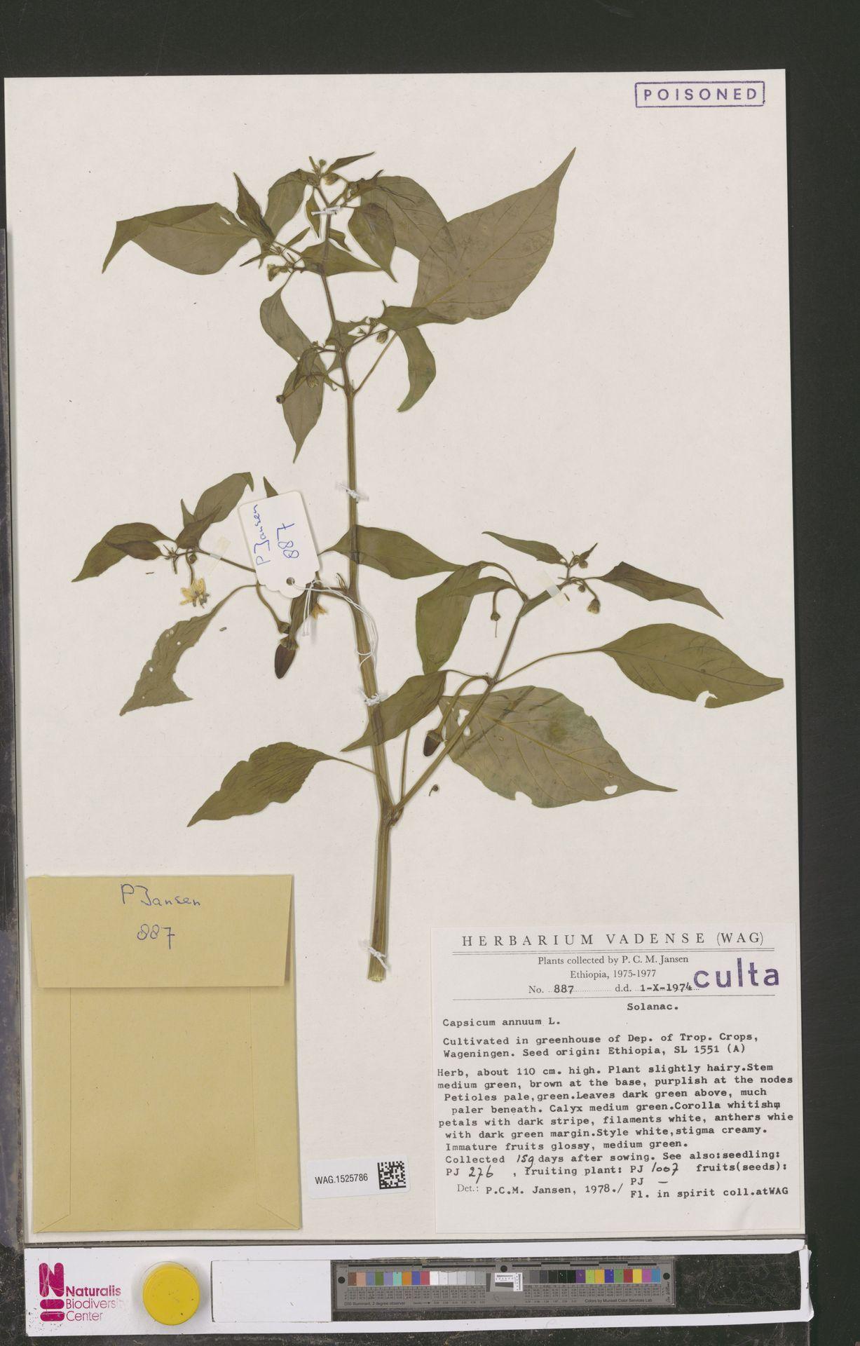 WAG.1525786 | Capsicum annuum L.