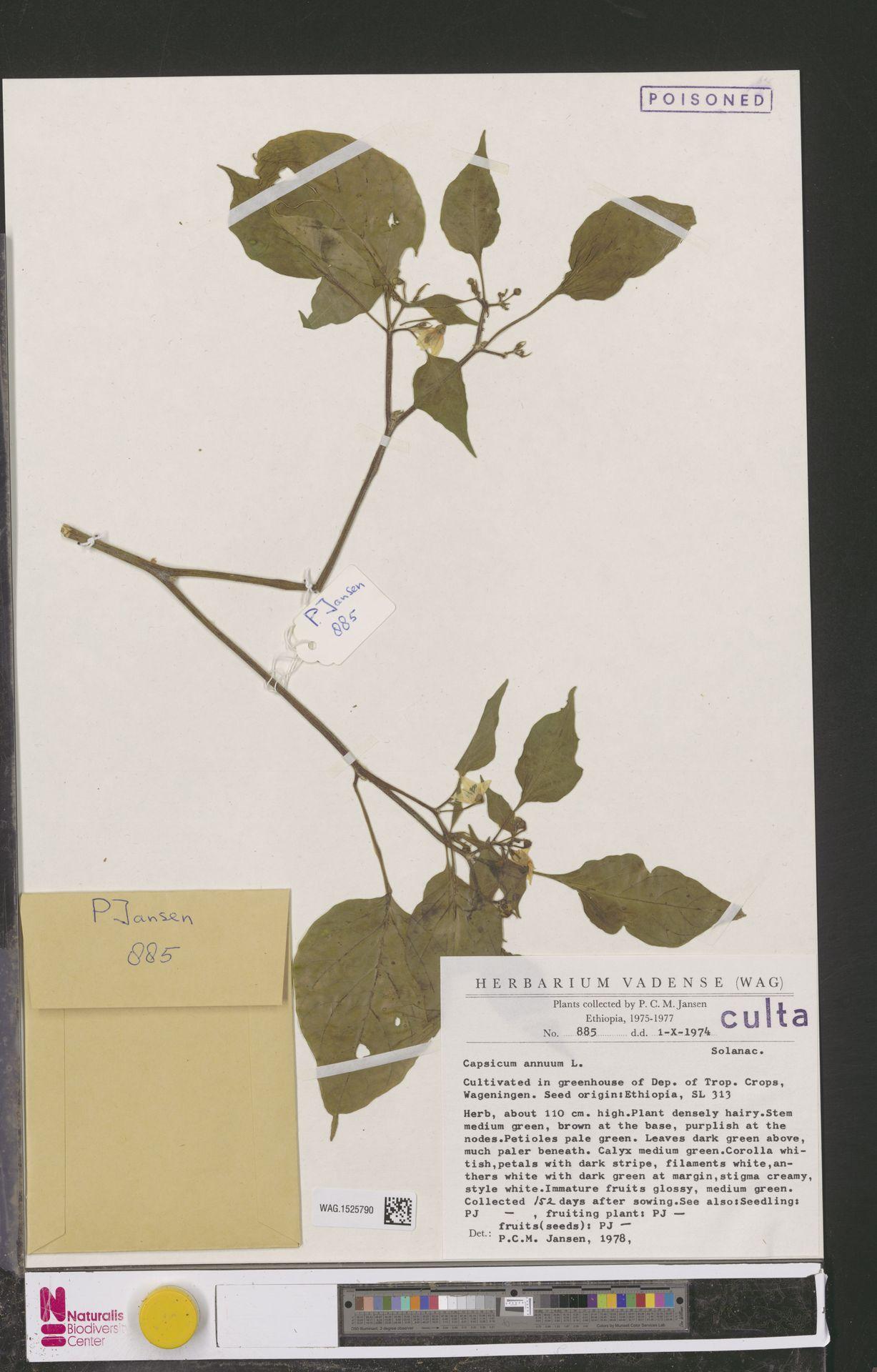 WAG.1525790 | Capsicum annuum L.