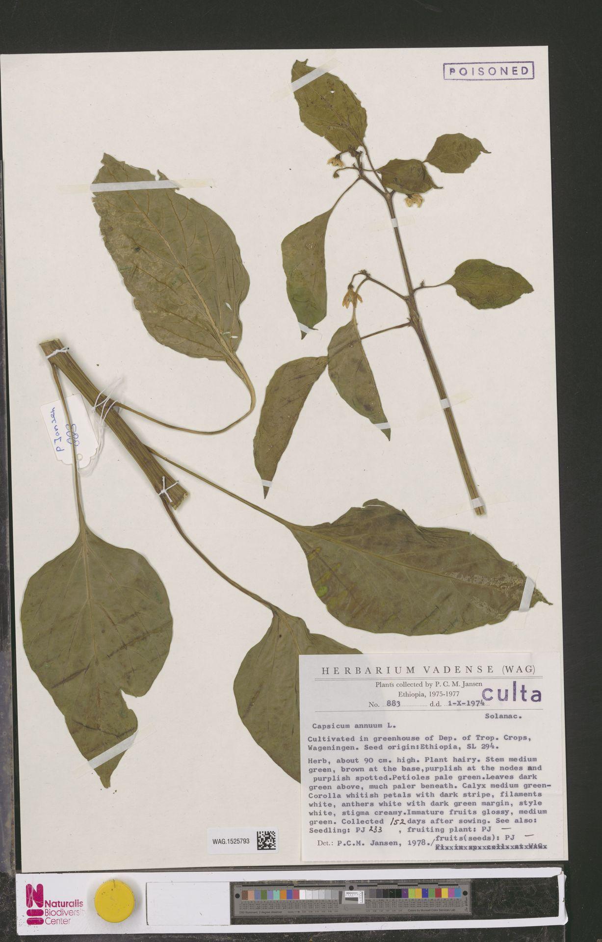 WAG.1525793 | Capsicum annuum L.
