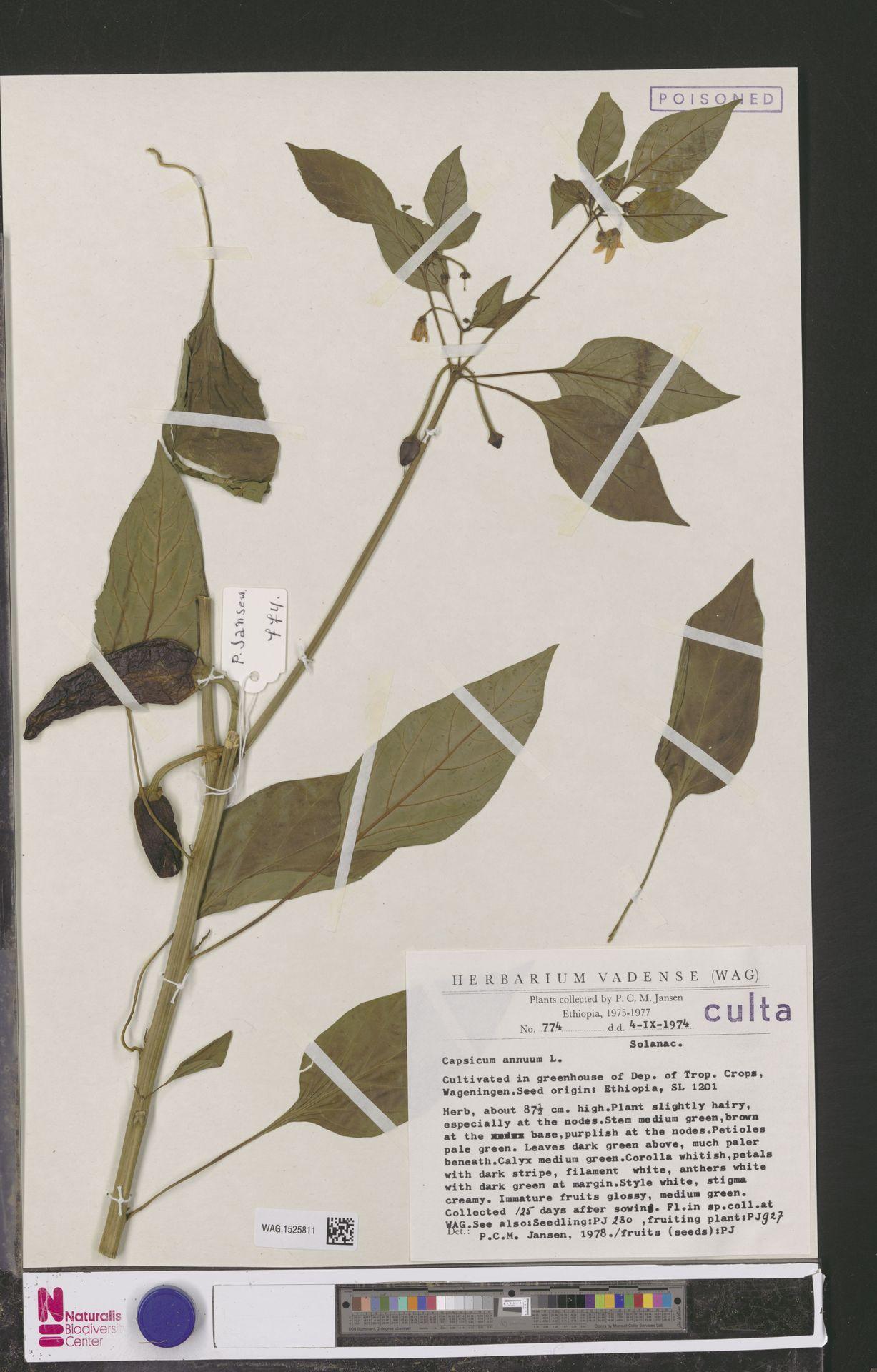 WAG.1525811 | Capsicum annuum L.