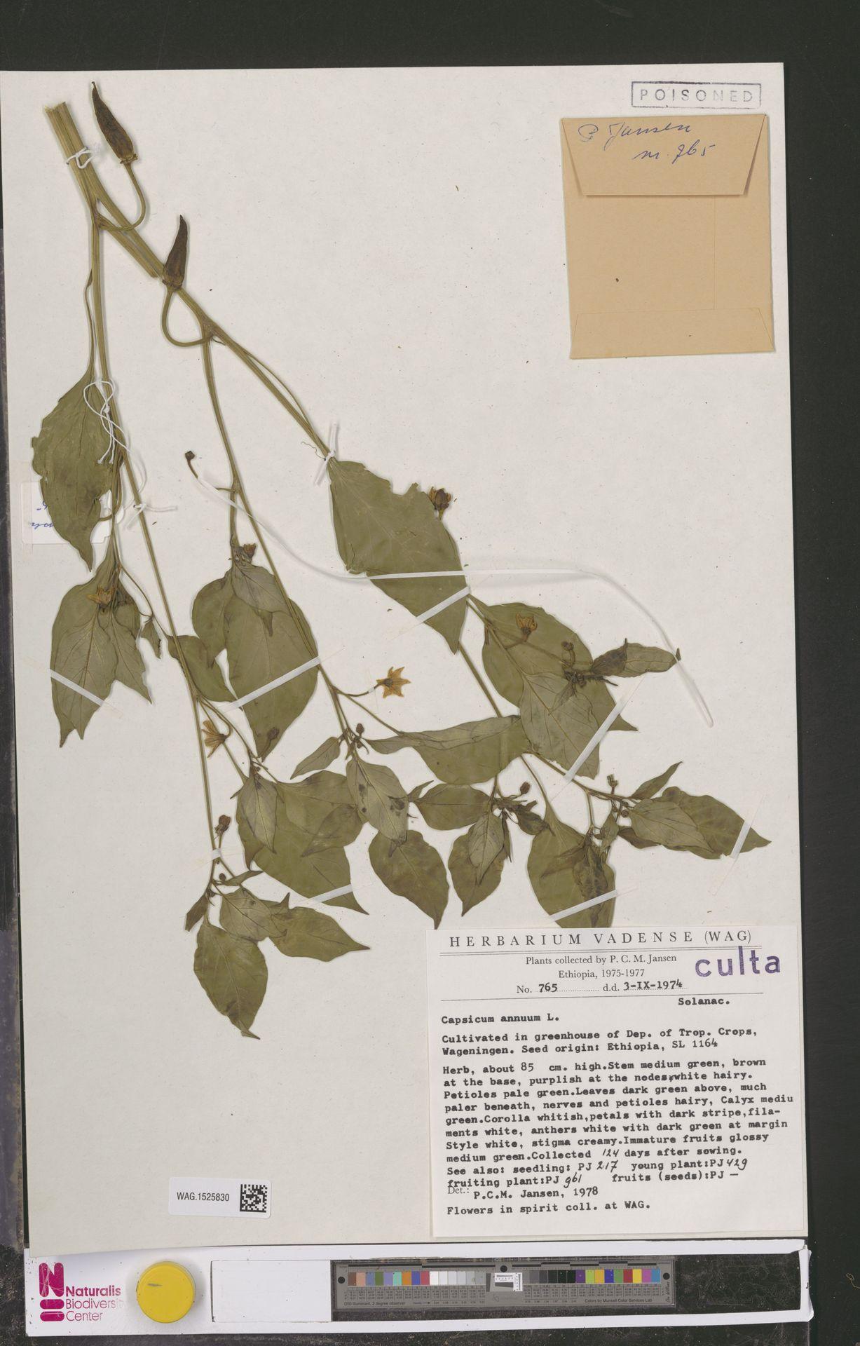 WAG.1525830 | Capsicum annuum L.