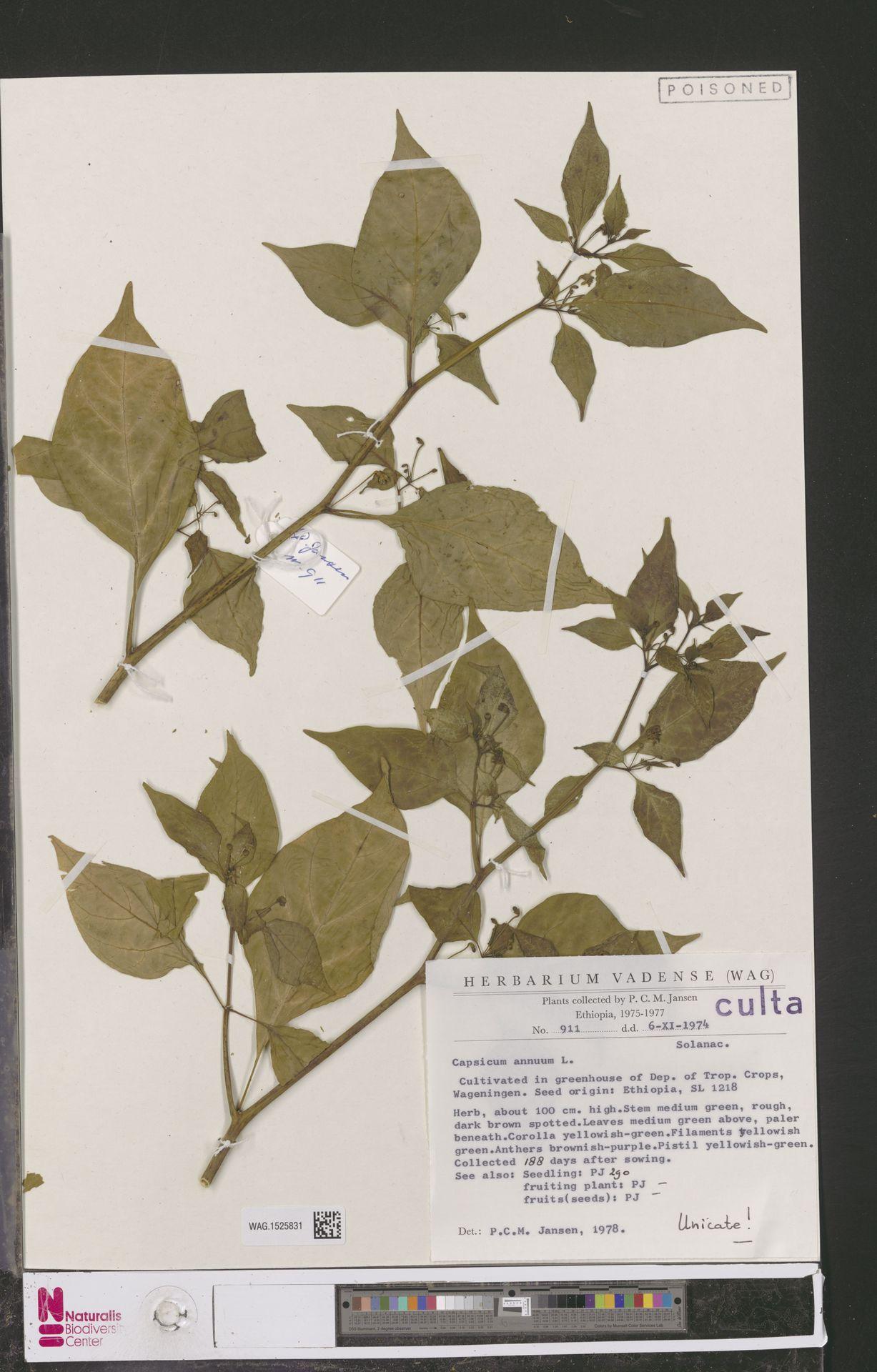 WAG.1525831 | Capsicum annuum L.