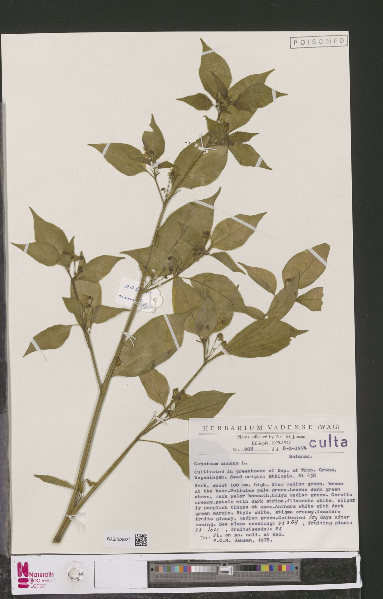 WAG.1525832 | Capsicum annuum L.