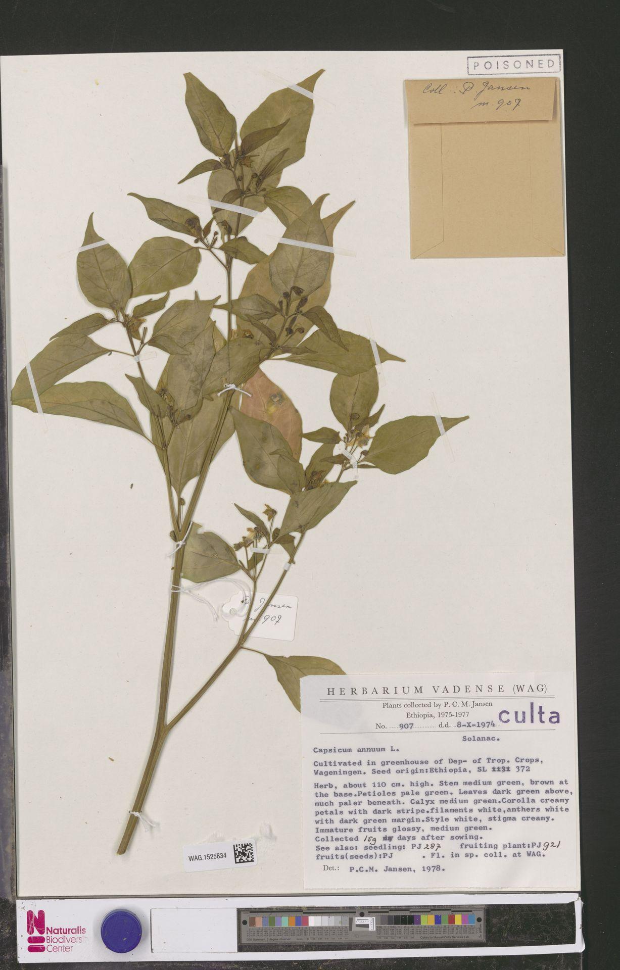 WAG.1525834 | Capsicum annuum L.
