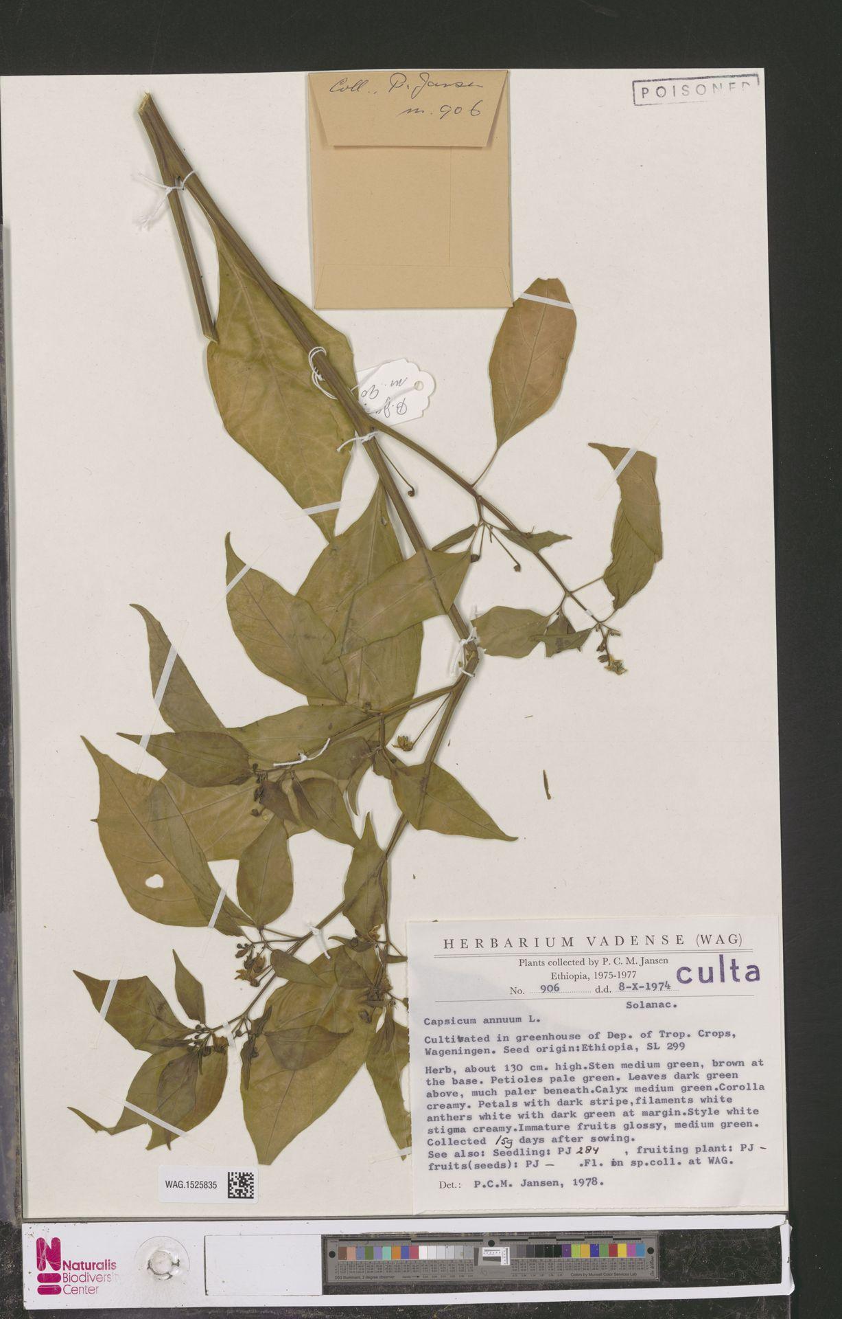 WAG.1525835 | Capsicum annuum L.