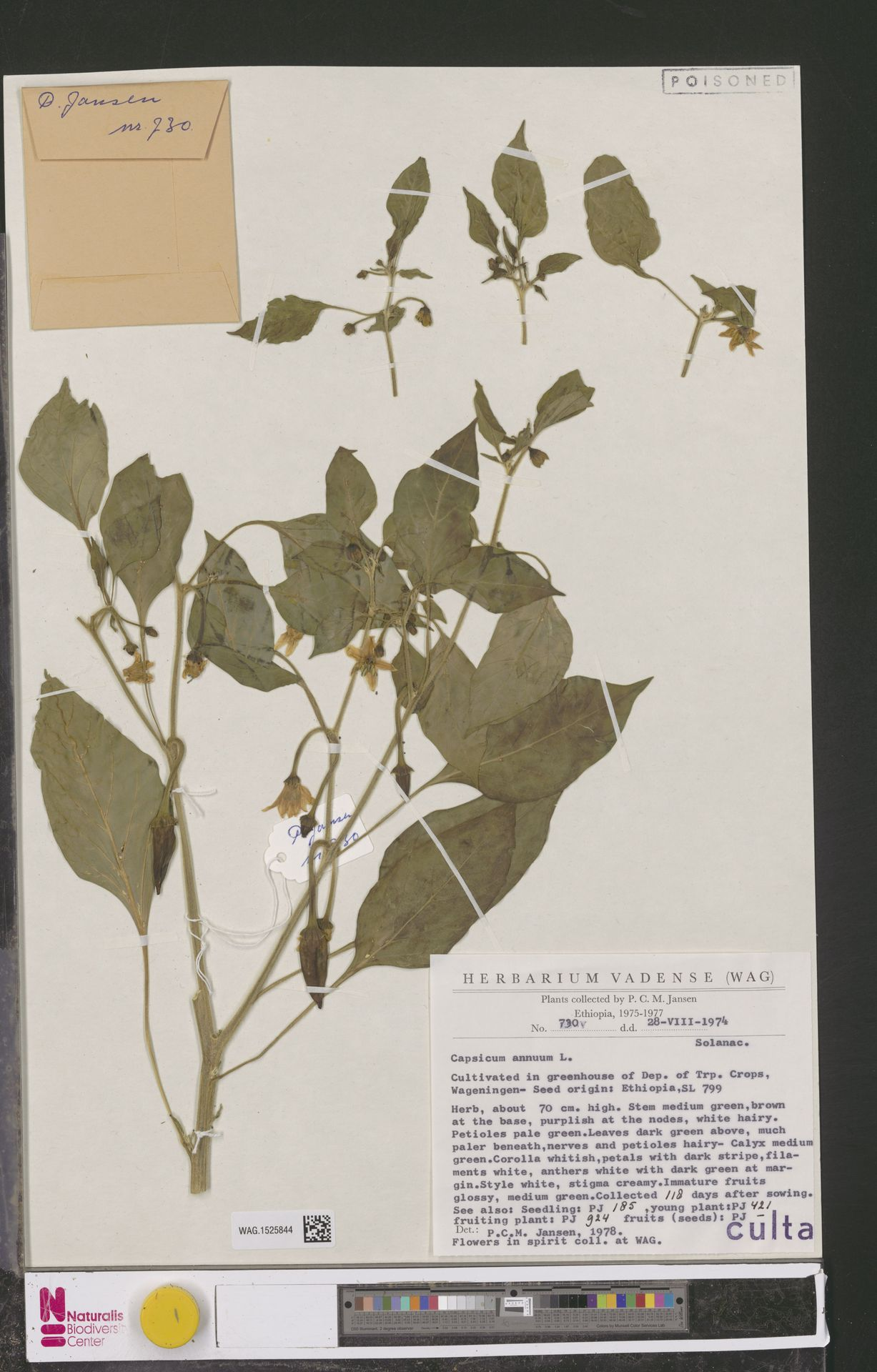 WAG.1525844 | Capsicum annuum L.