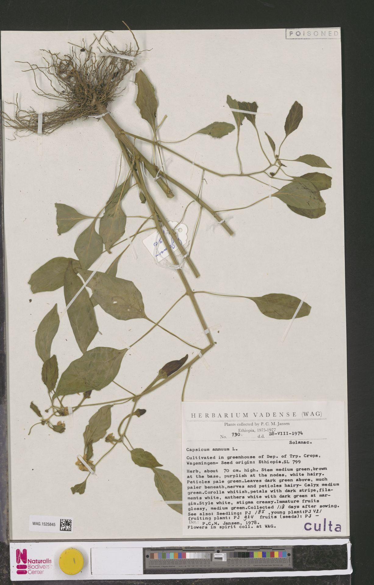 WAG.1525845 | Capsicum annuum L.
