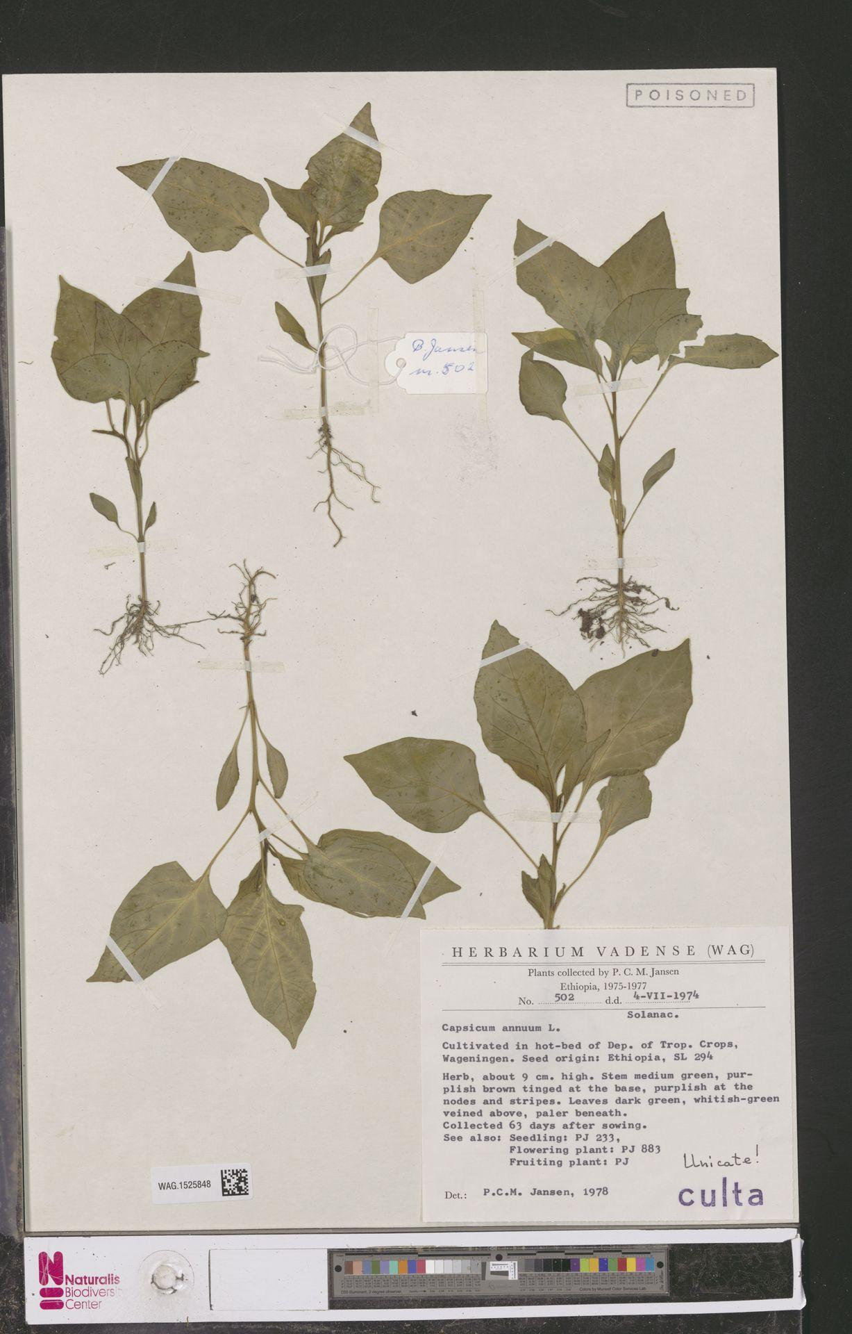 WAG.1525848 | Capsicum annuum L.