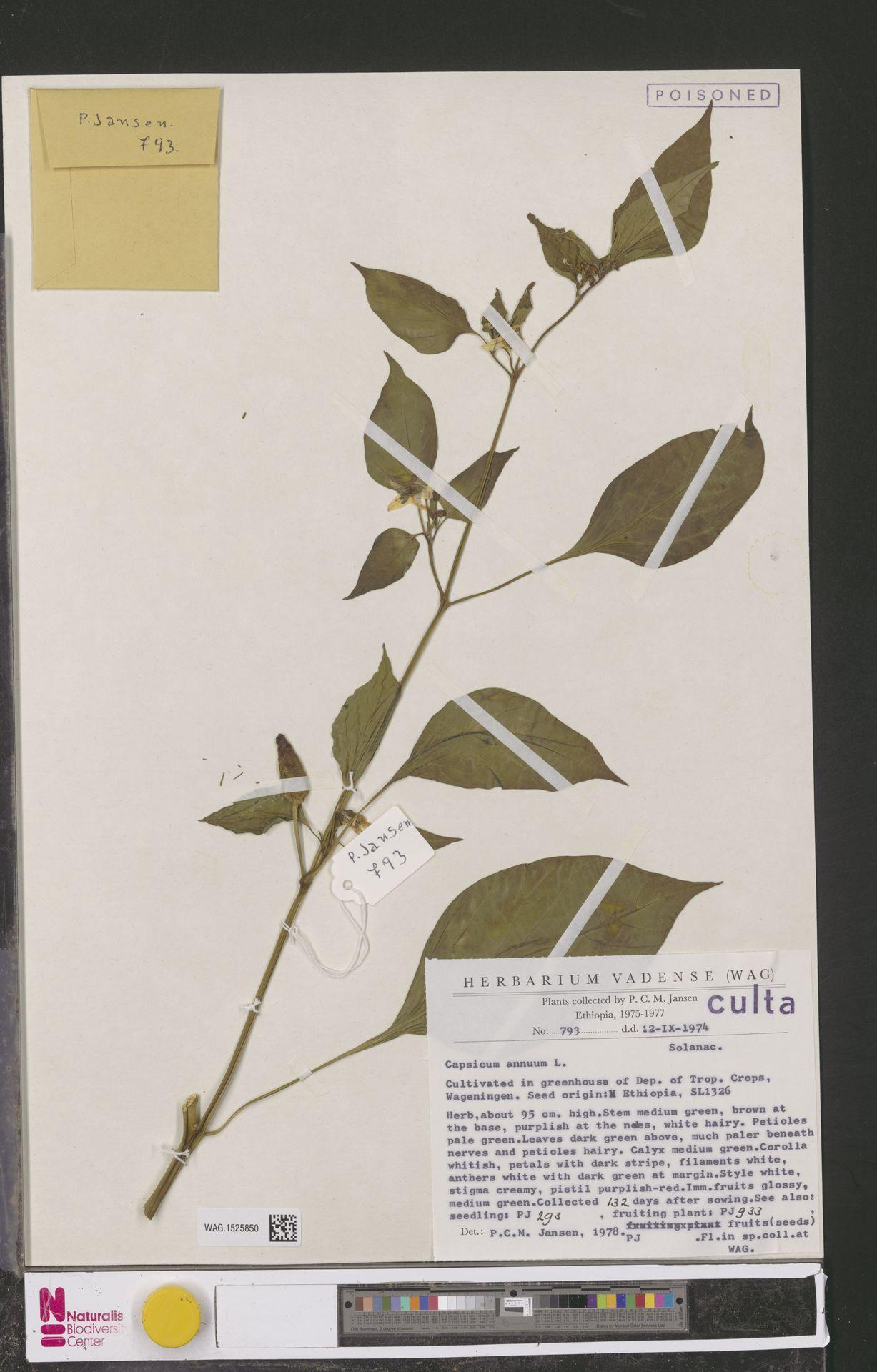WAG.1525850 | Capsicum annuum L.
