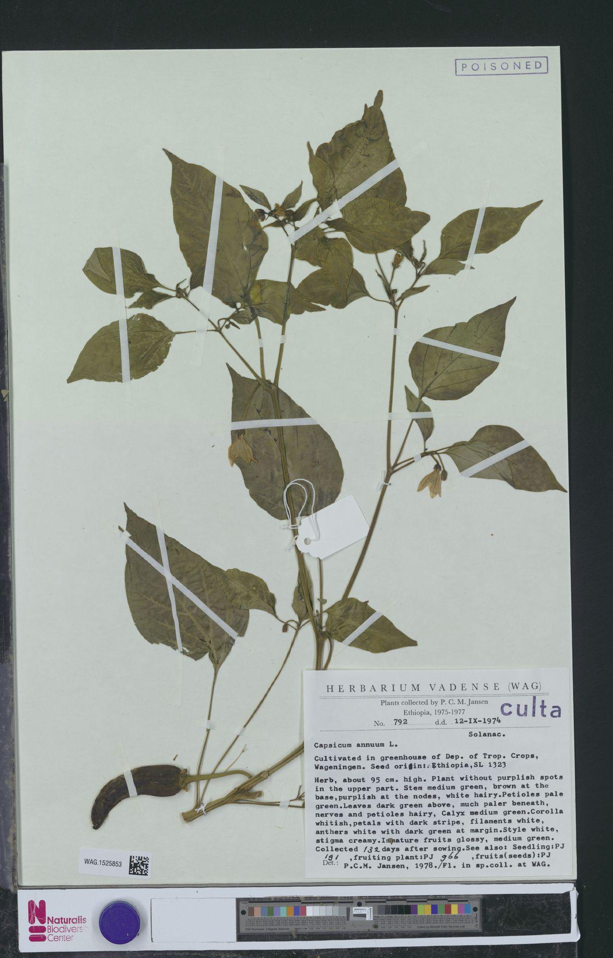 WAG.1525853 | Capsicum annuum L.
