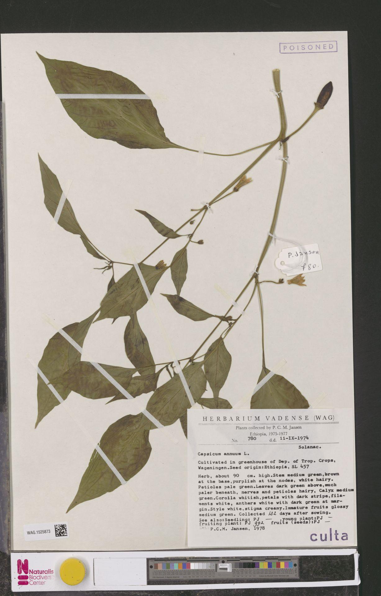 WAG.1525873 | Capsicum annuum L.