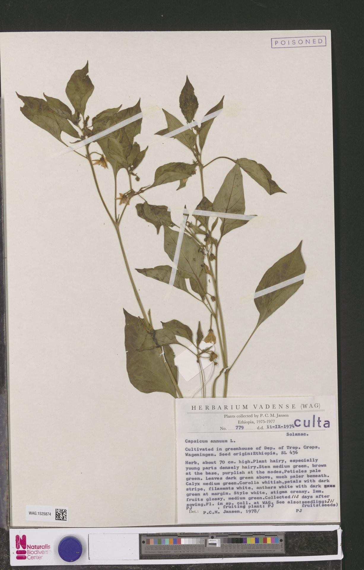 WAG.1525874 | Capsicum annuum L.