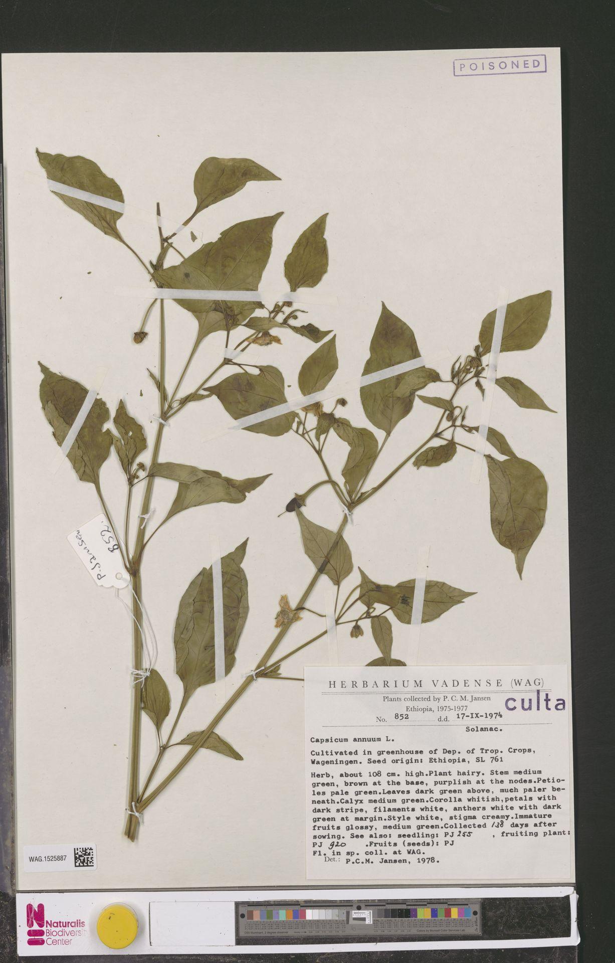 WAG.1525887 | Capsicum annuum L.